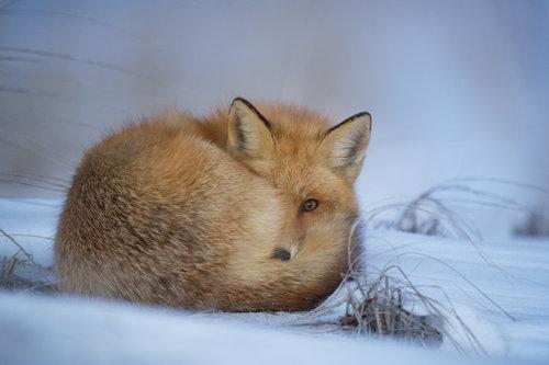 winter fox.jpeg