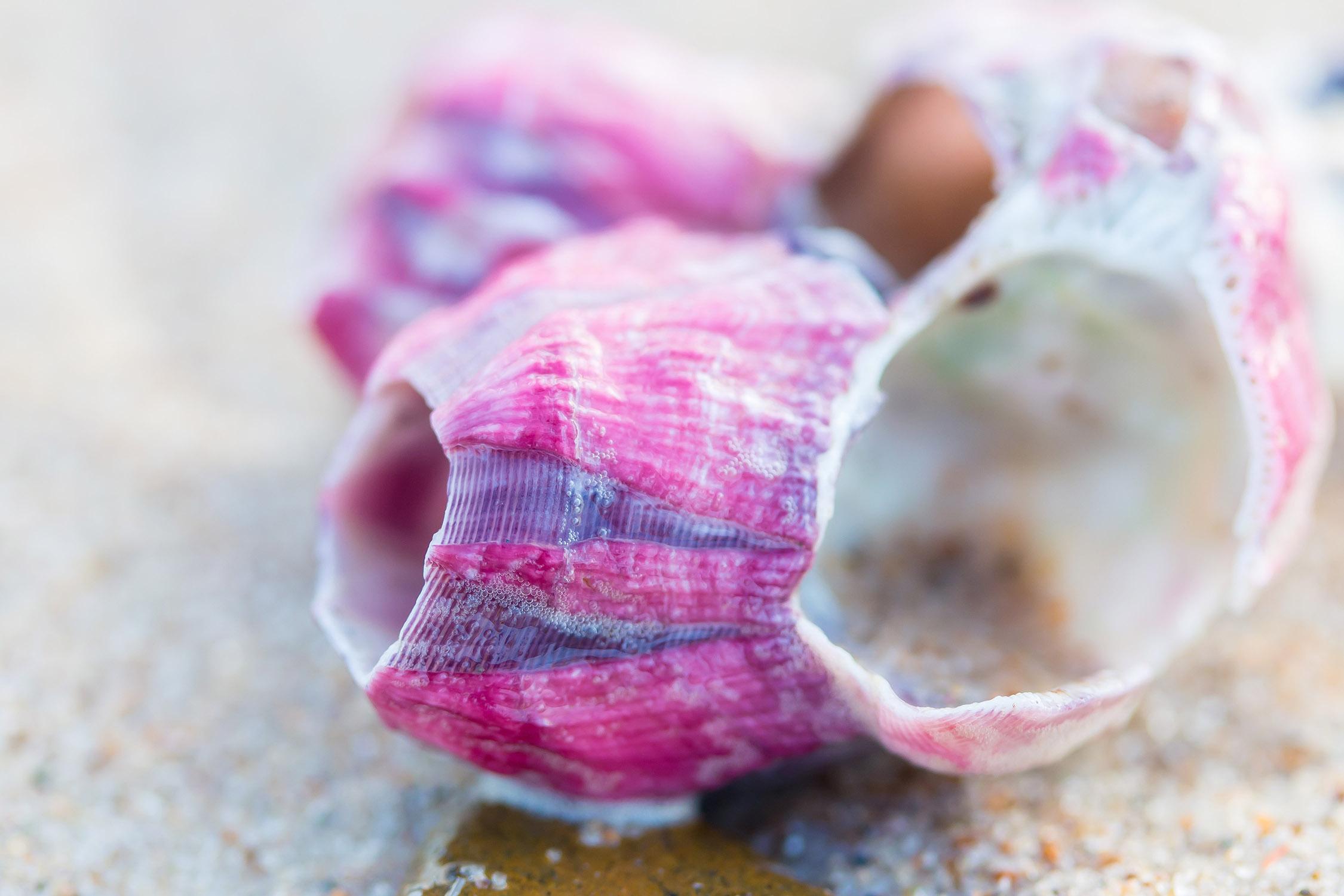 pinkseashell.jpg