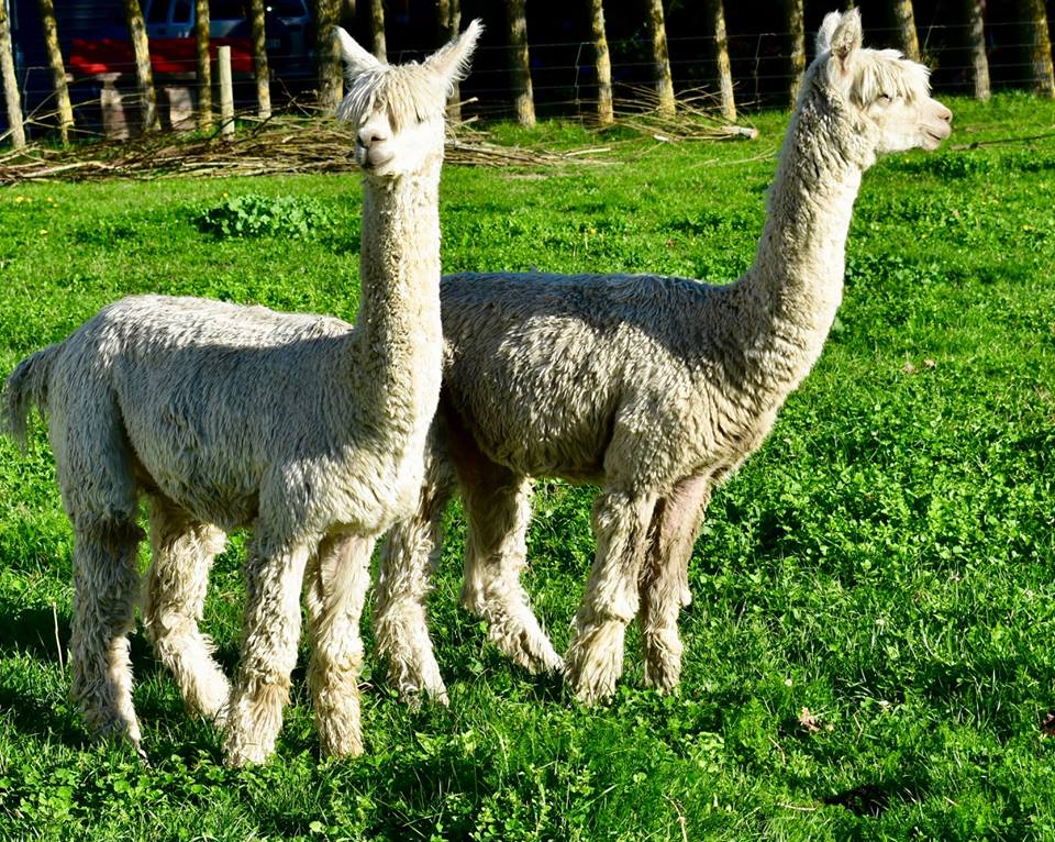 alpacas 1.jpg