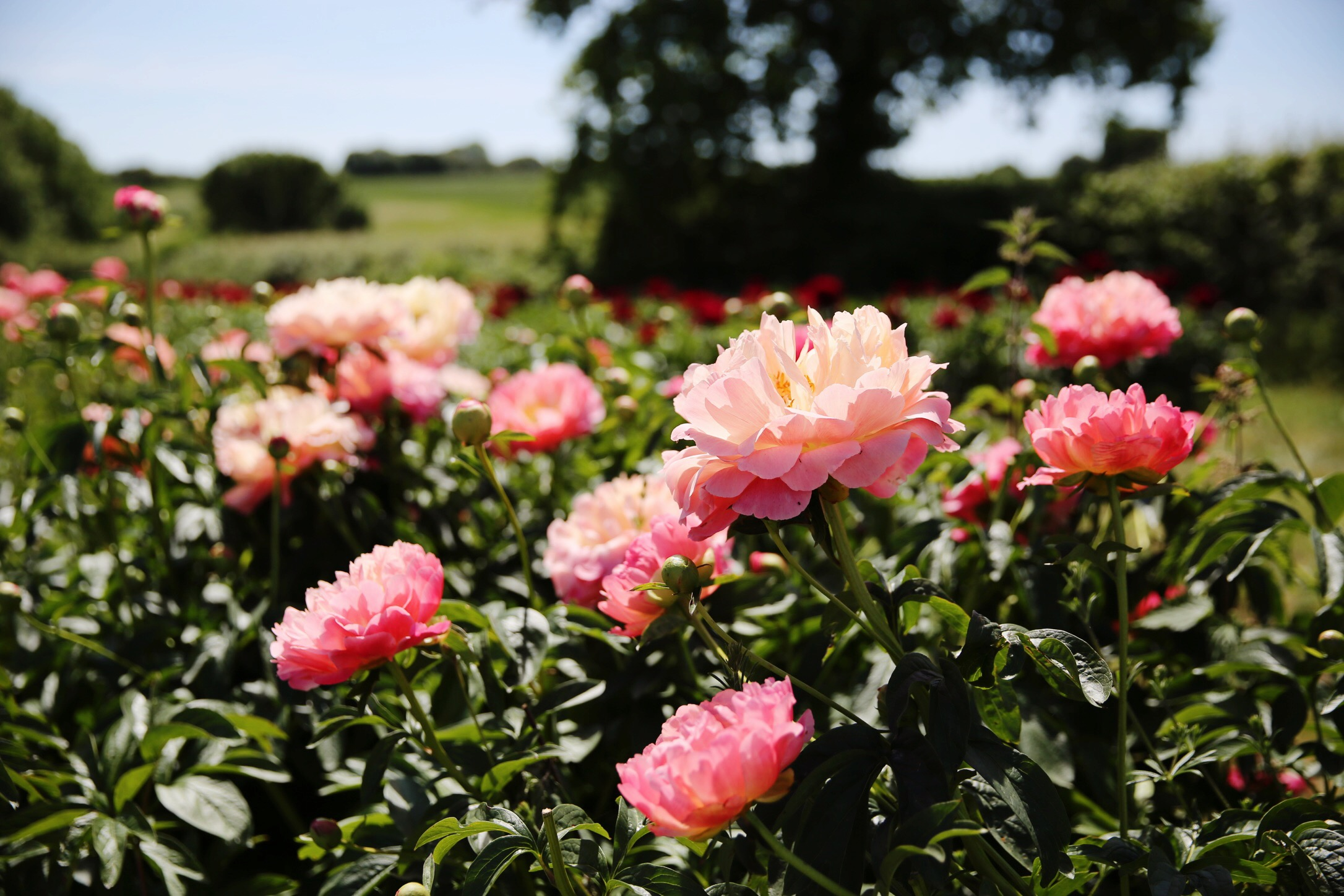 Peony Farm : All Sorts Of Lovely