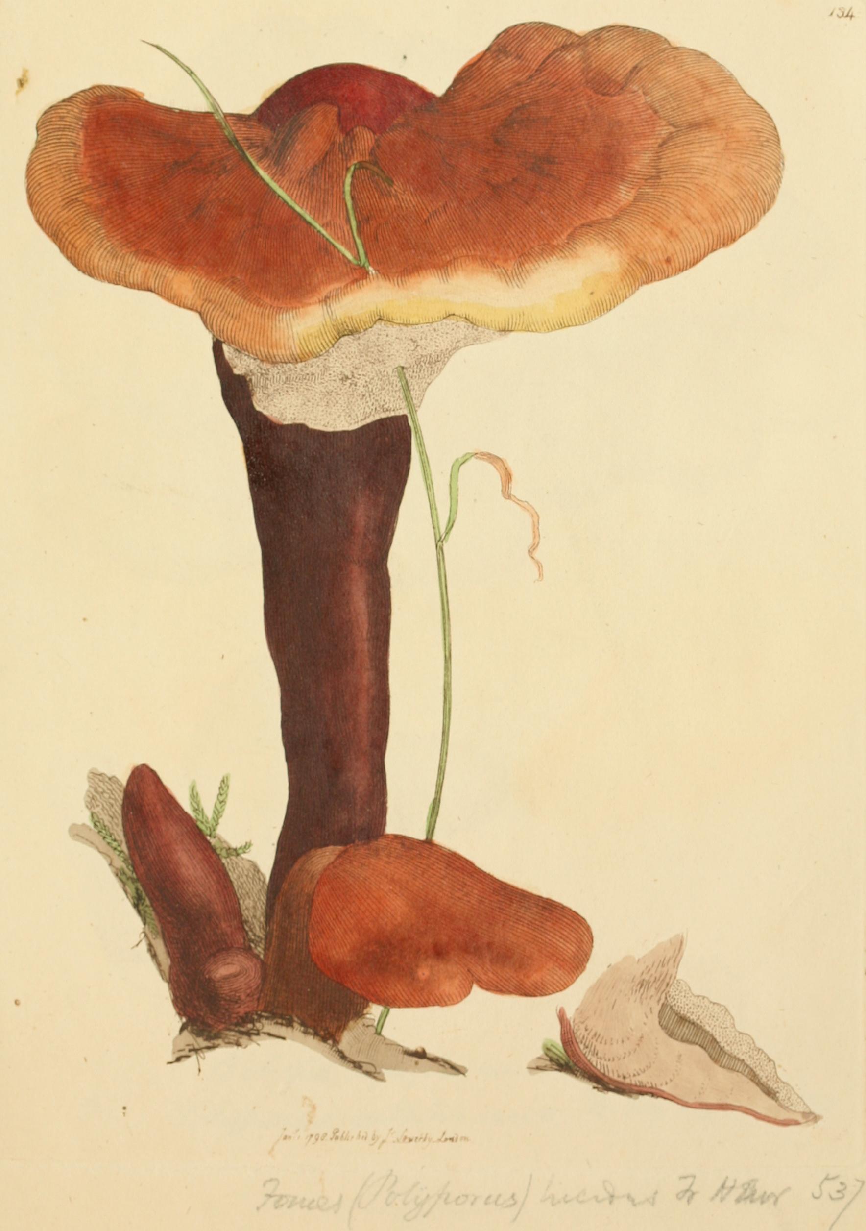 Reishi, Ganoderma lucidum.jpg