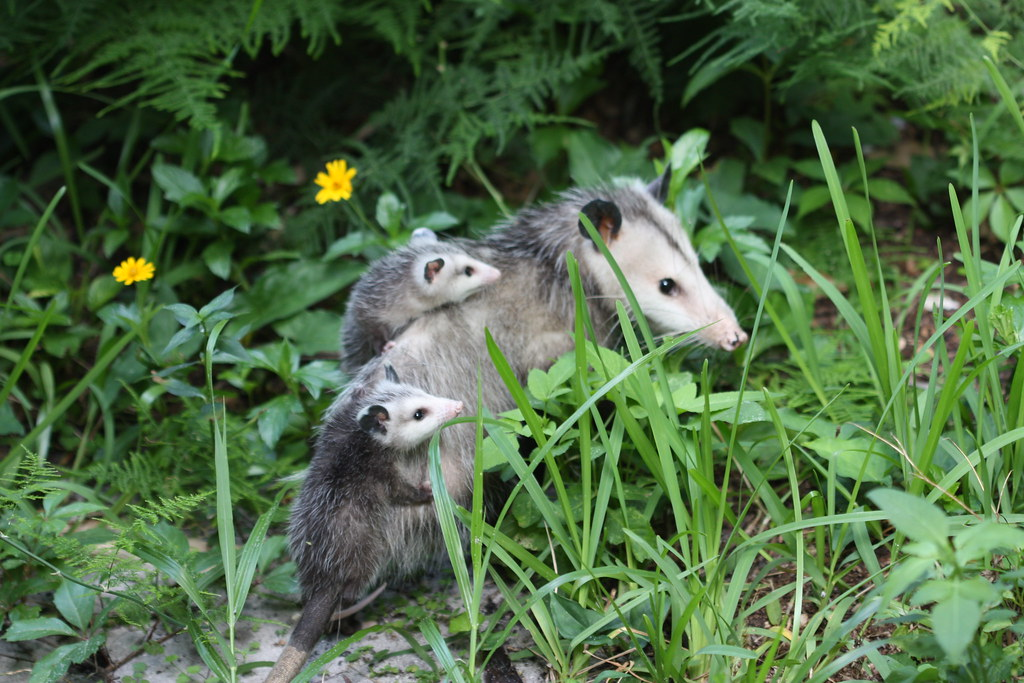 The American possum with babies.