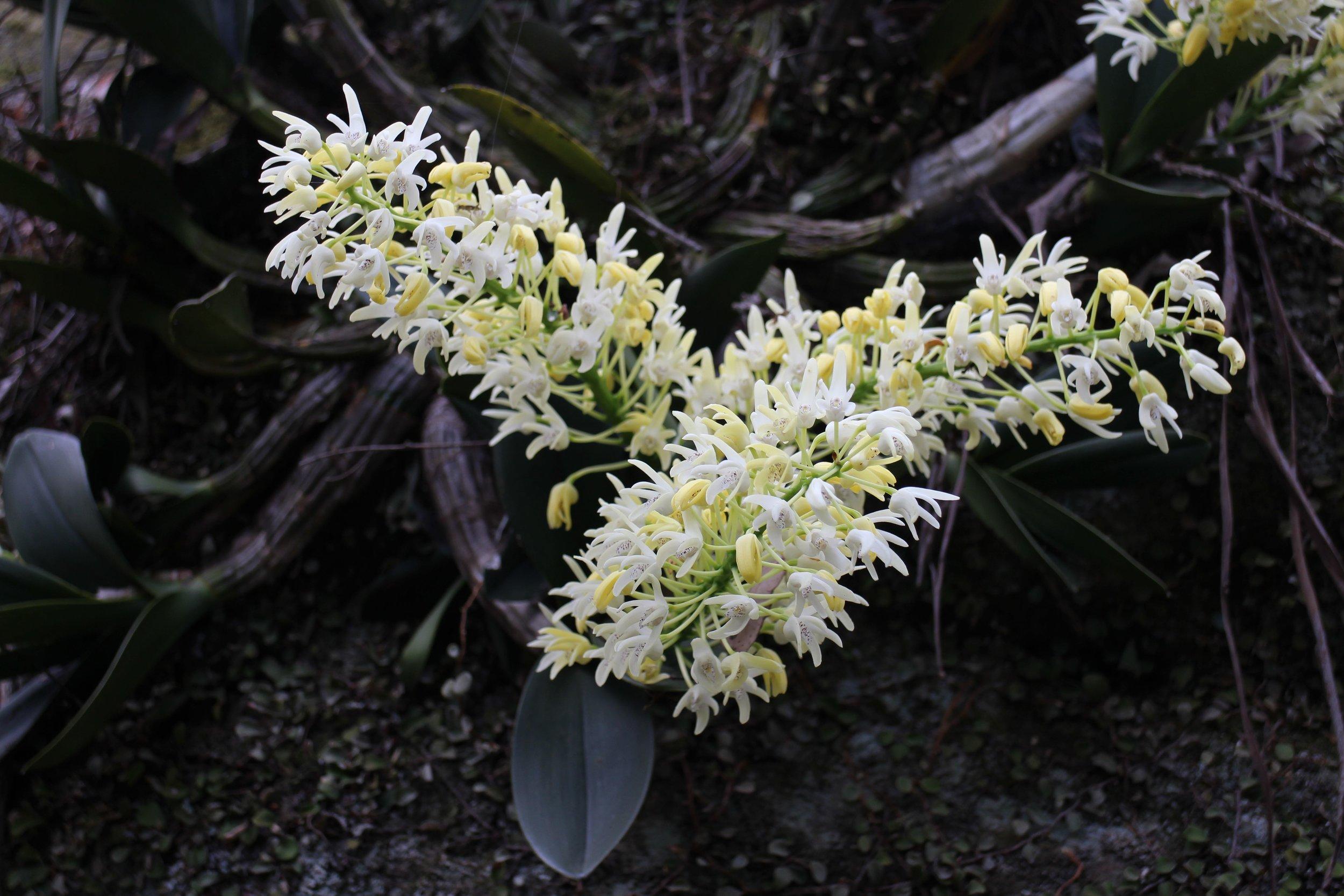Sydney Rock Orchid  Dendrobium speciosum