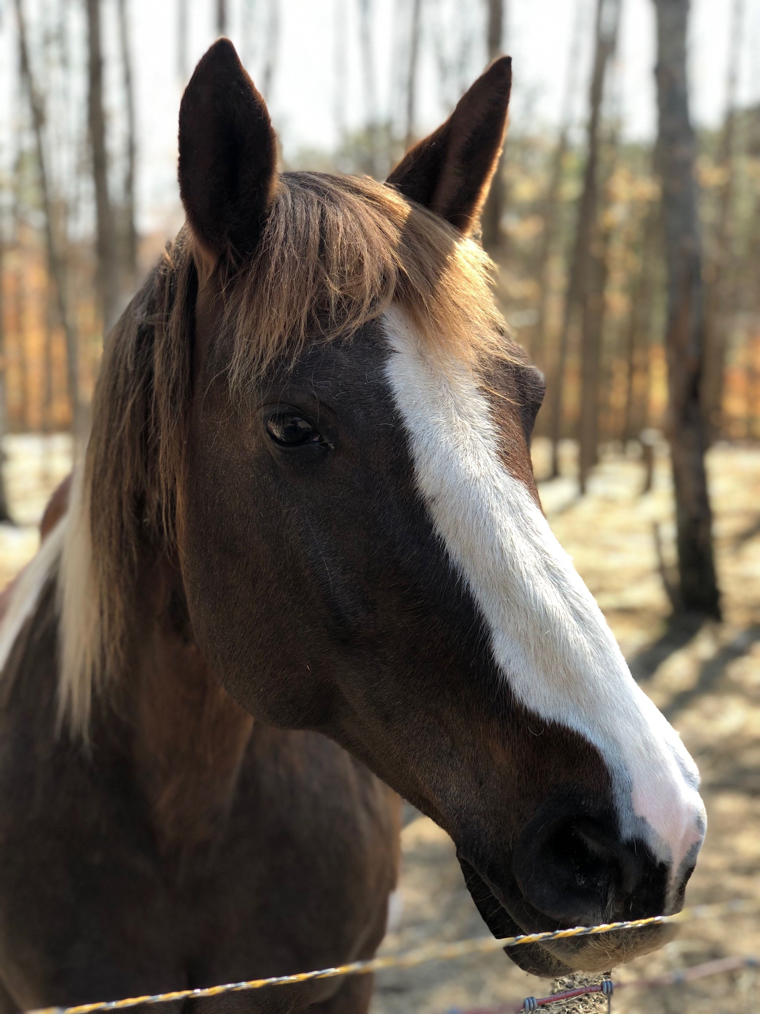 Bella is a Spotted Draft/Quarter Horse X, part of our Equine Assisted therapy herd.