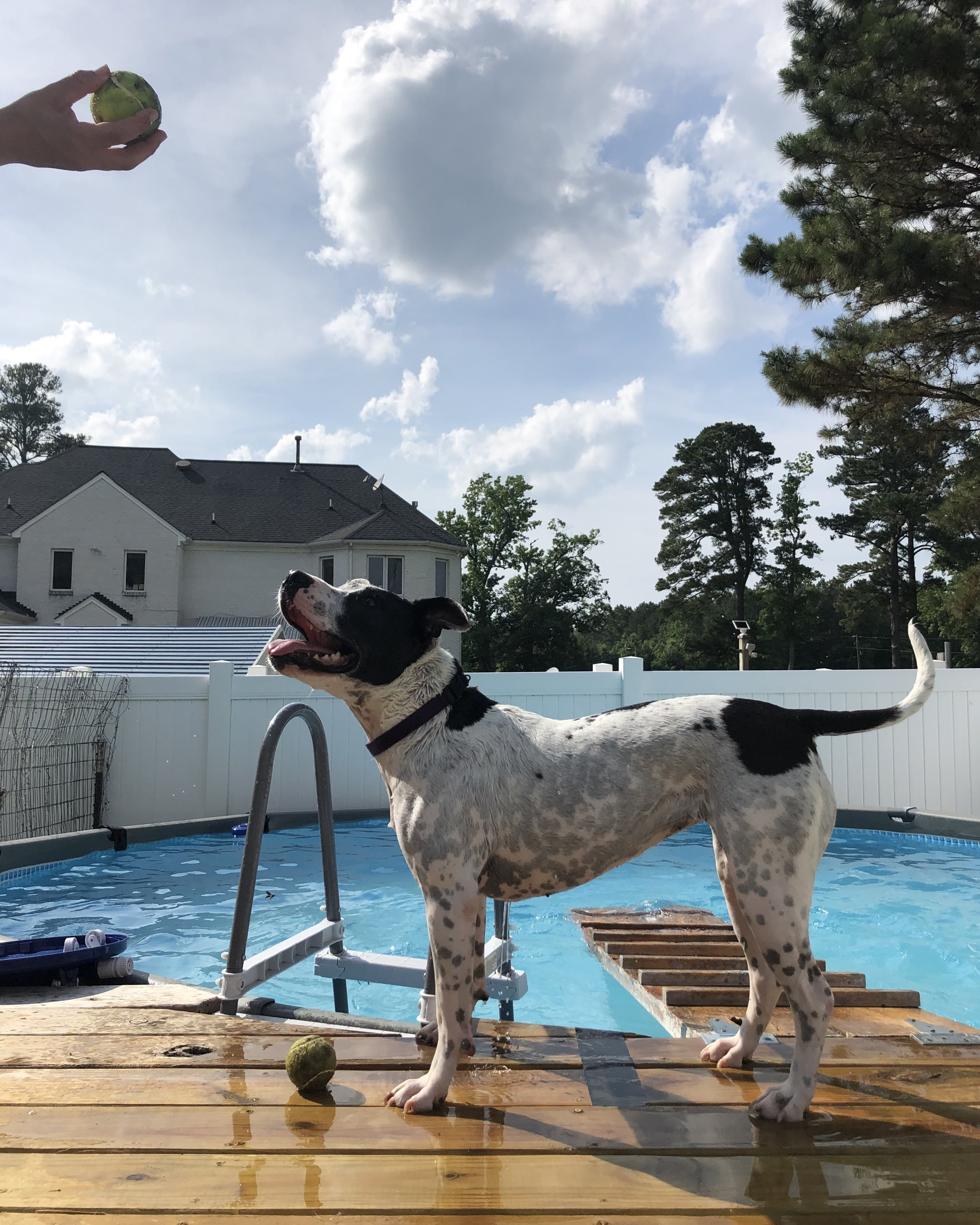 Jules getting ready to dive for her favorite tennis ball!