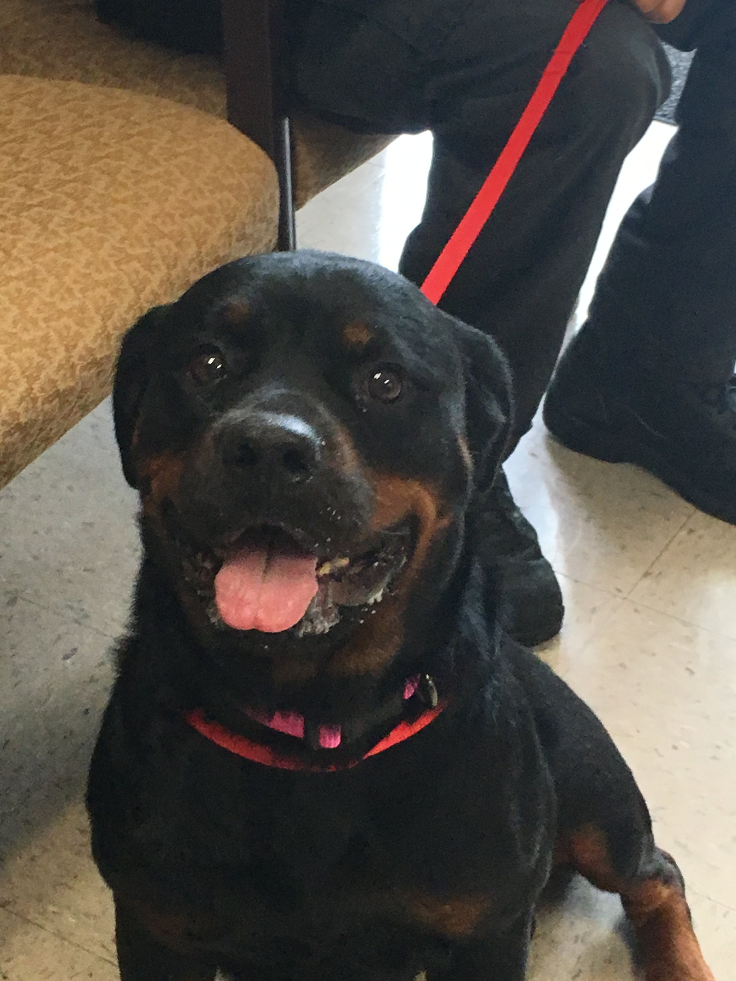 Gorgeous Gracie, our newest Rottweiler angel.