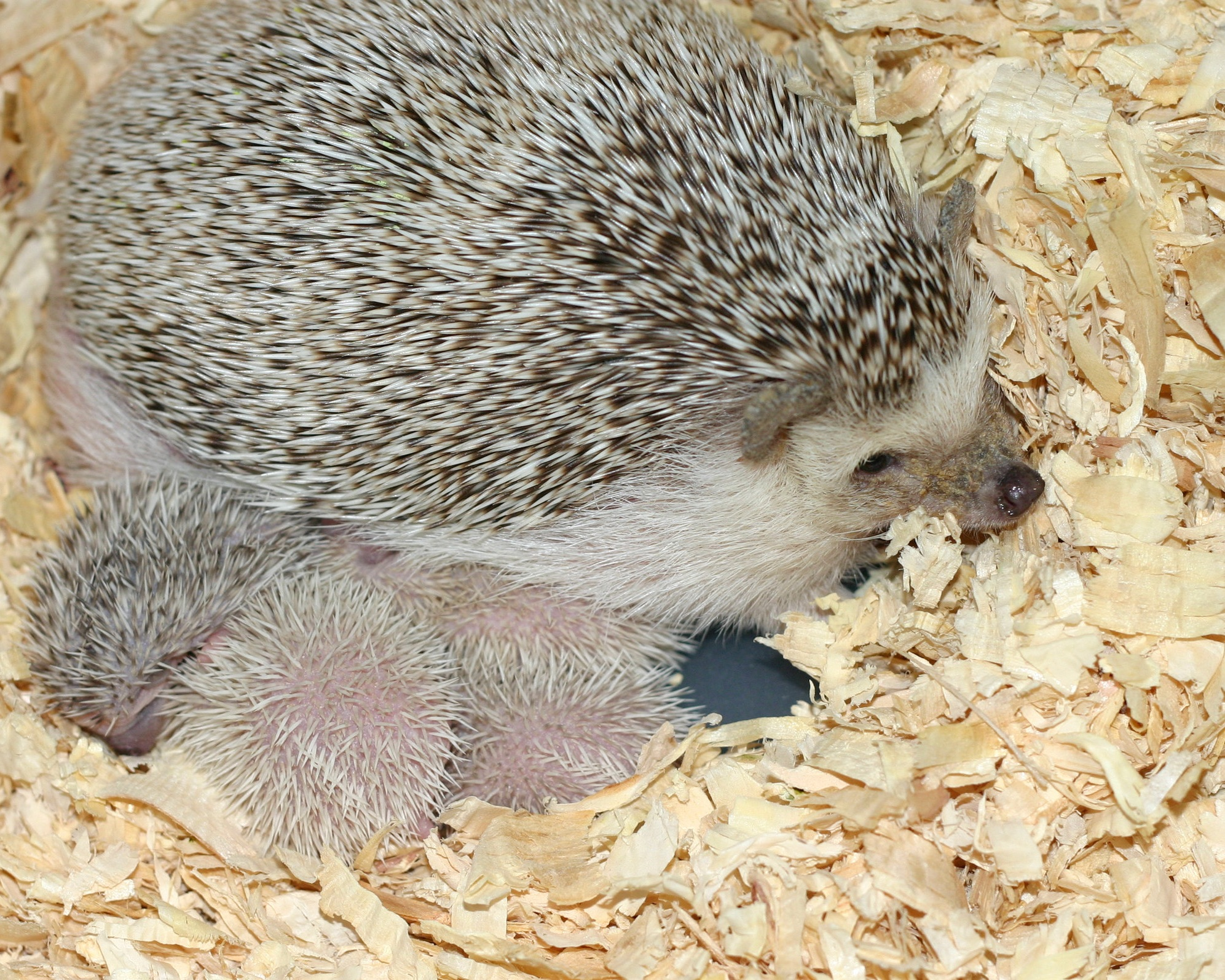 HEDGEHOG PRICES - ALL HEDGEHOGS COST $260. EASY PEASY!WE DON'T CHARGE EXTRA BASED ON GENDER, RARE MARKINGS, OR COLOR.
