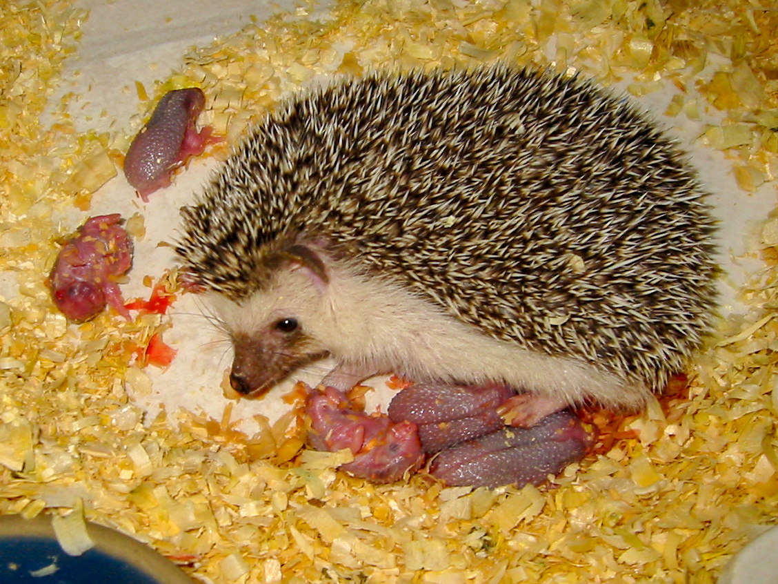 Watch Me Grow Baby Hedgehogs Growing Up Hamor Hollow Hedgehogs