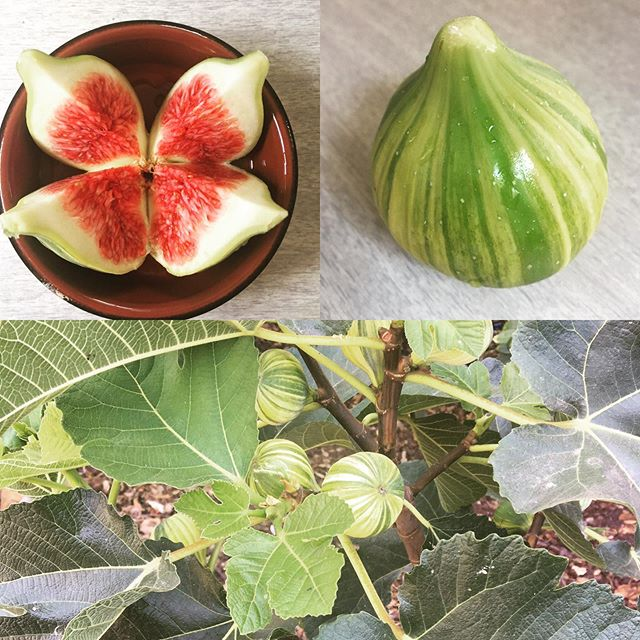 """I have been waiting for 10 years to grow a """"tiger stripes fig"""". Thank you garden for bringing me into the moment, for teaching me patience, for sensual pleasure. #sluttyfruit #gardenofpleasures #myzenteacher #returningpeacetothedinnertable"""