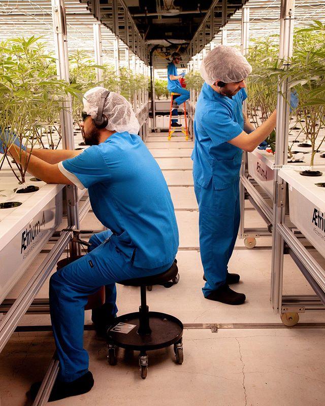 Teamwork makes the dream work ⭐️ 🤝⭐️ 📷: Kate A. Miner - - - #monarchgrow #nopesticides #sustainablecannabis #consciousconsumer  #liveforevergreen #cannabisconsumer #cannabissociety #washingtoncannabis #plantcare #growroom #aeroponics