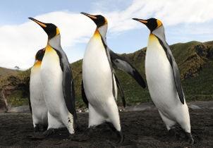 Penguins ponant 2.jpg