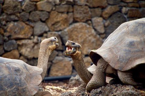 galapagos tortoise couple.jpg