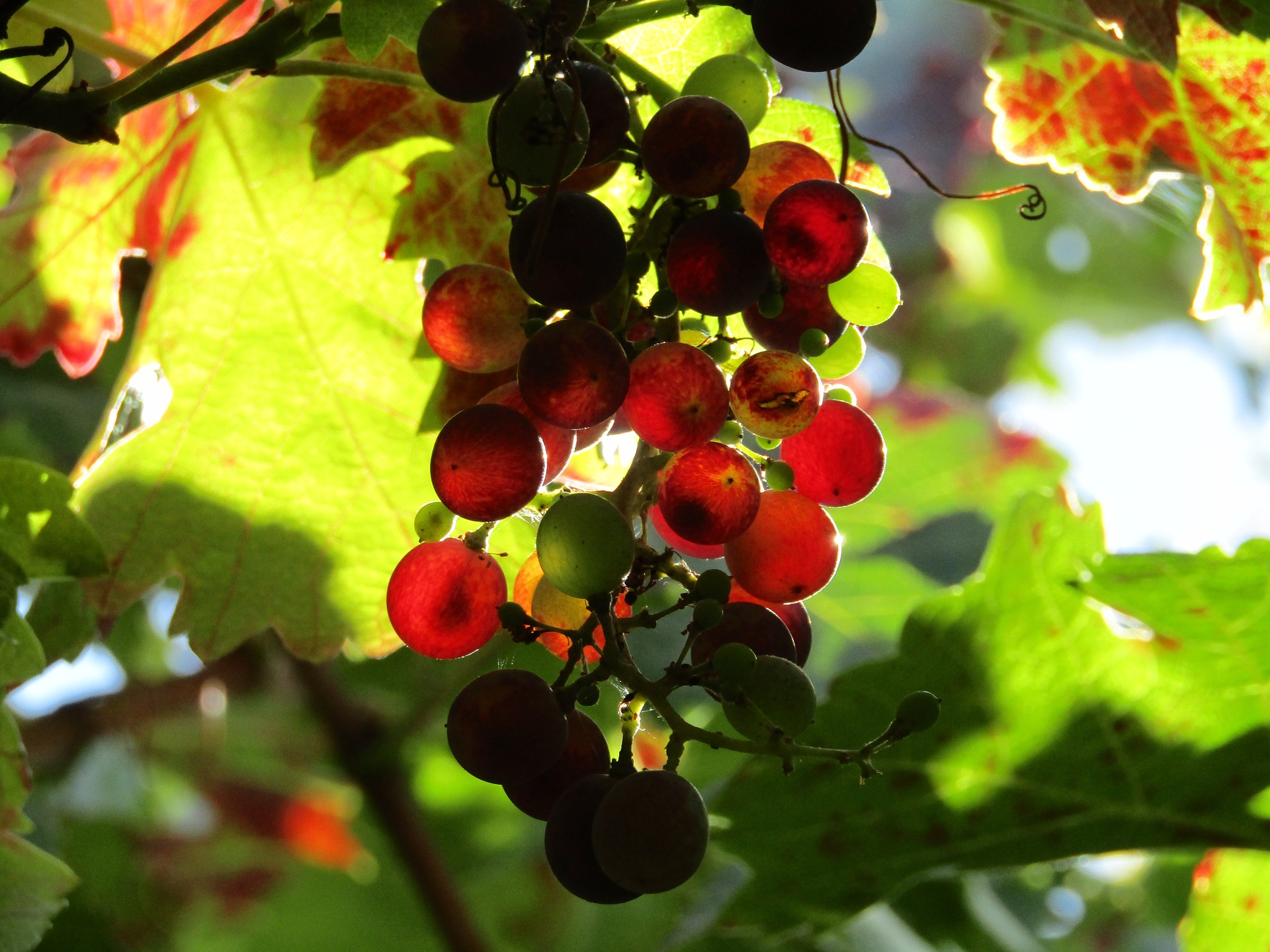 grapes red cool shot.jpg