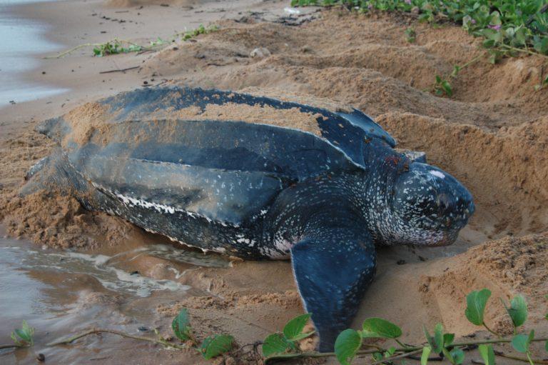 Suriname Galibi-Nature-Reserve-Turtle-768x511.jpg