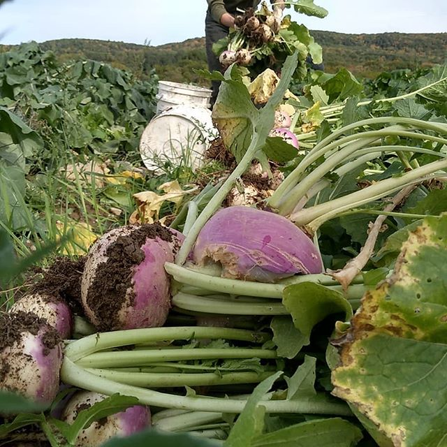 Root harvests begin! Sign up for the winter CSA today to taste all these goodies!  #turnips #radishes #wintercsa