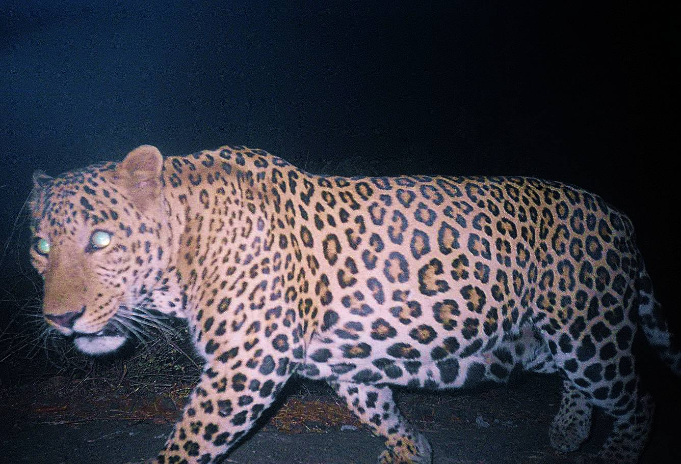 A classic example of a camera trap photo, as the leopard crosses the camera's view, it takes several images.