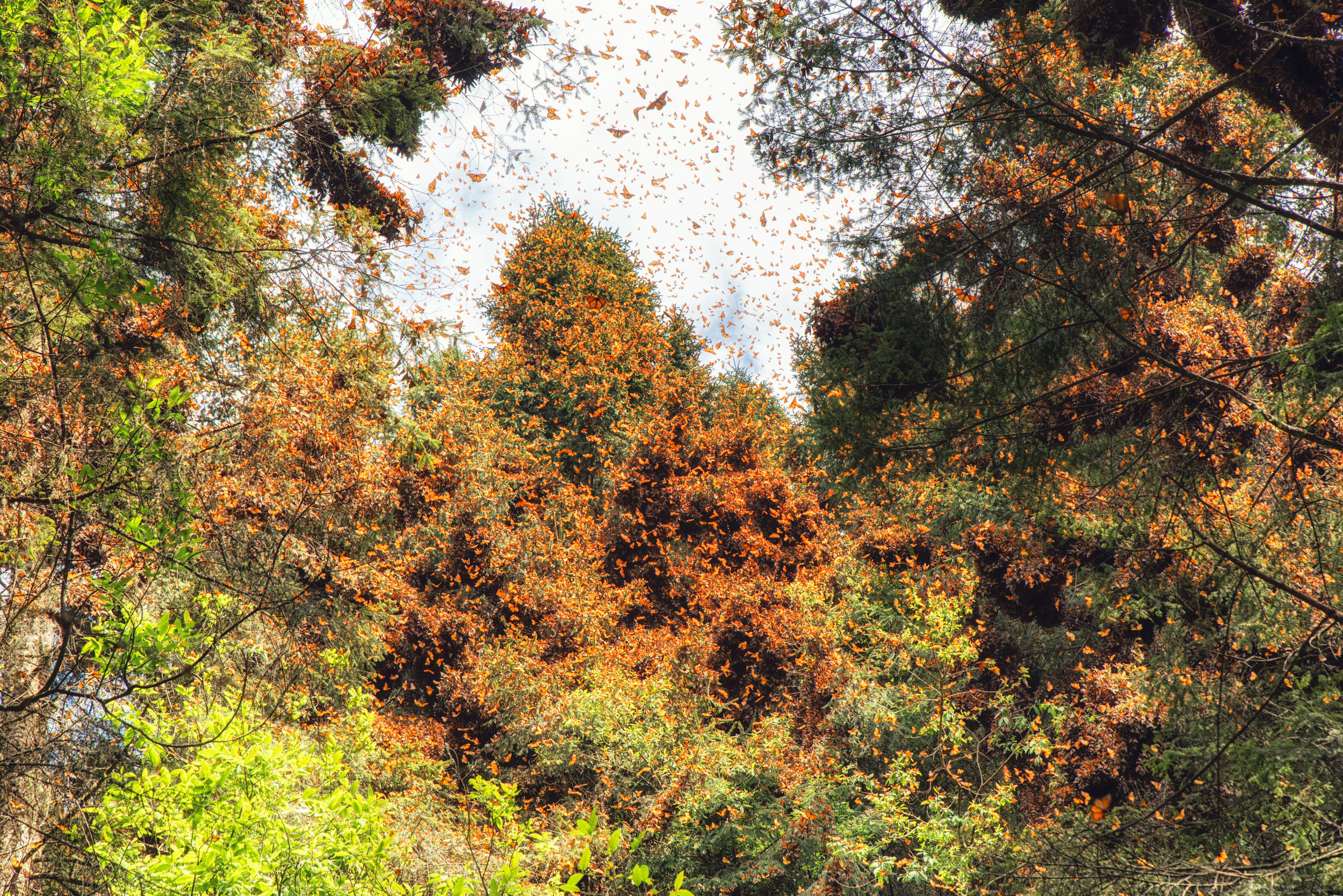 PICTURED:  Monarch Butterflies Spring Awakening in Mexico's Monarch Reserve, another dramatic location that has experienced a reduction in deforestation as a result of PES strategies