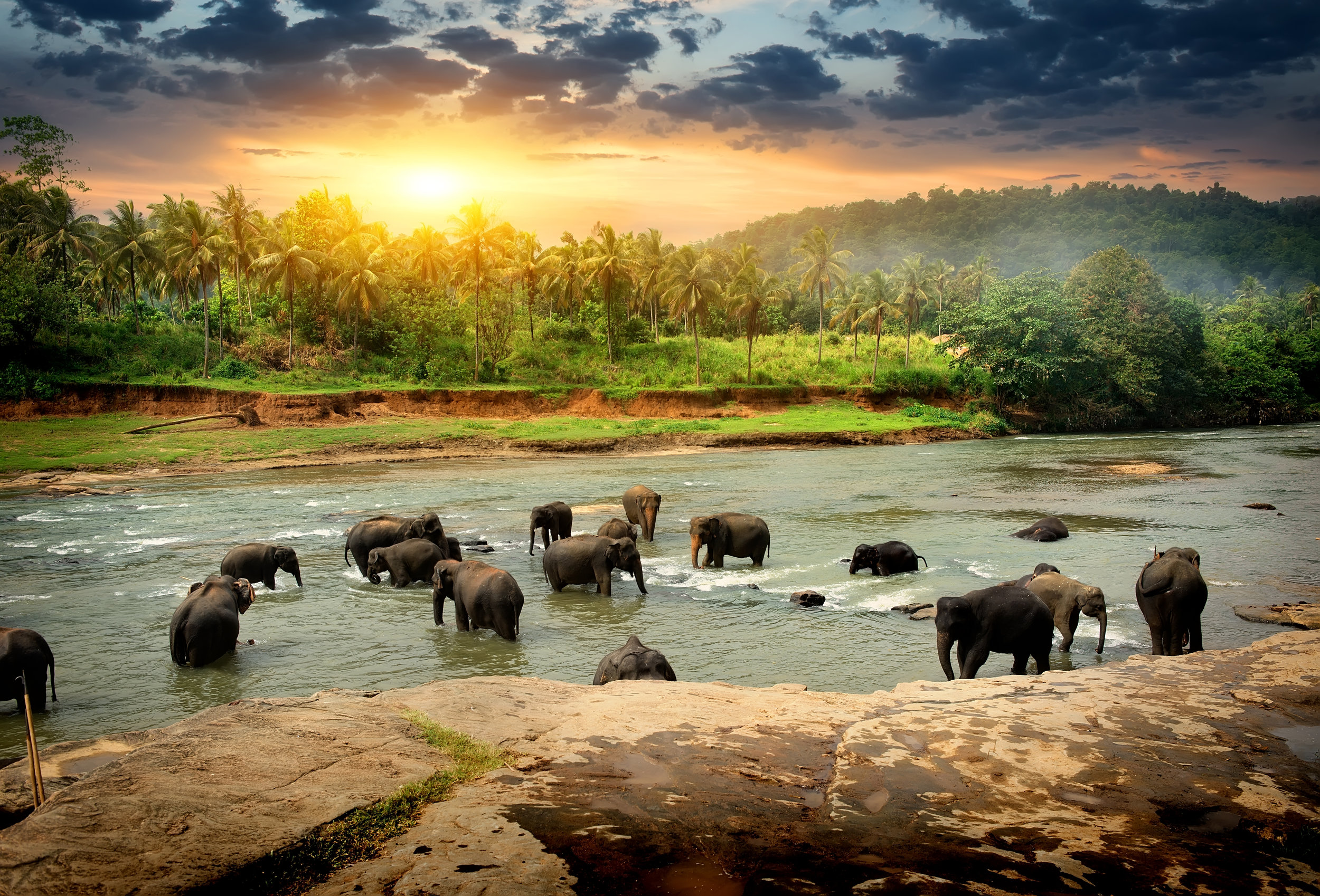PICTURED:  Herd of elephants bathing in the jungle river of Sri Lanka