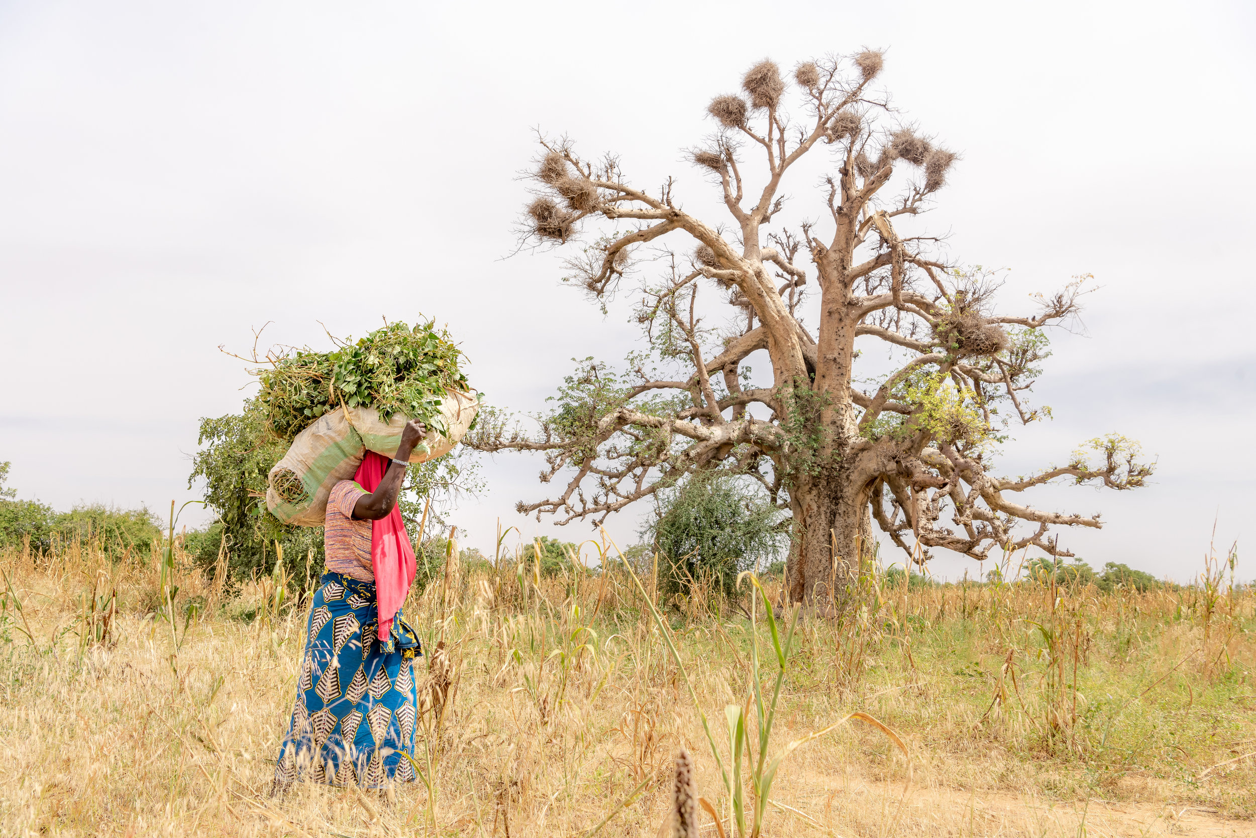 PICTURED:  Village woman of Niger walking near beautiful ancient lone tree, transporting leaves to her farm. The female populations of sub-Saharan Africa are the most at risk of any on earth for excess BMI.