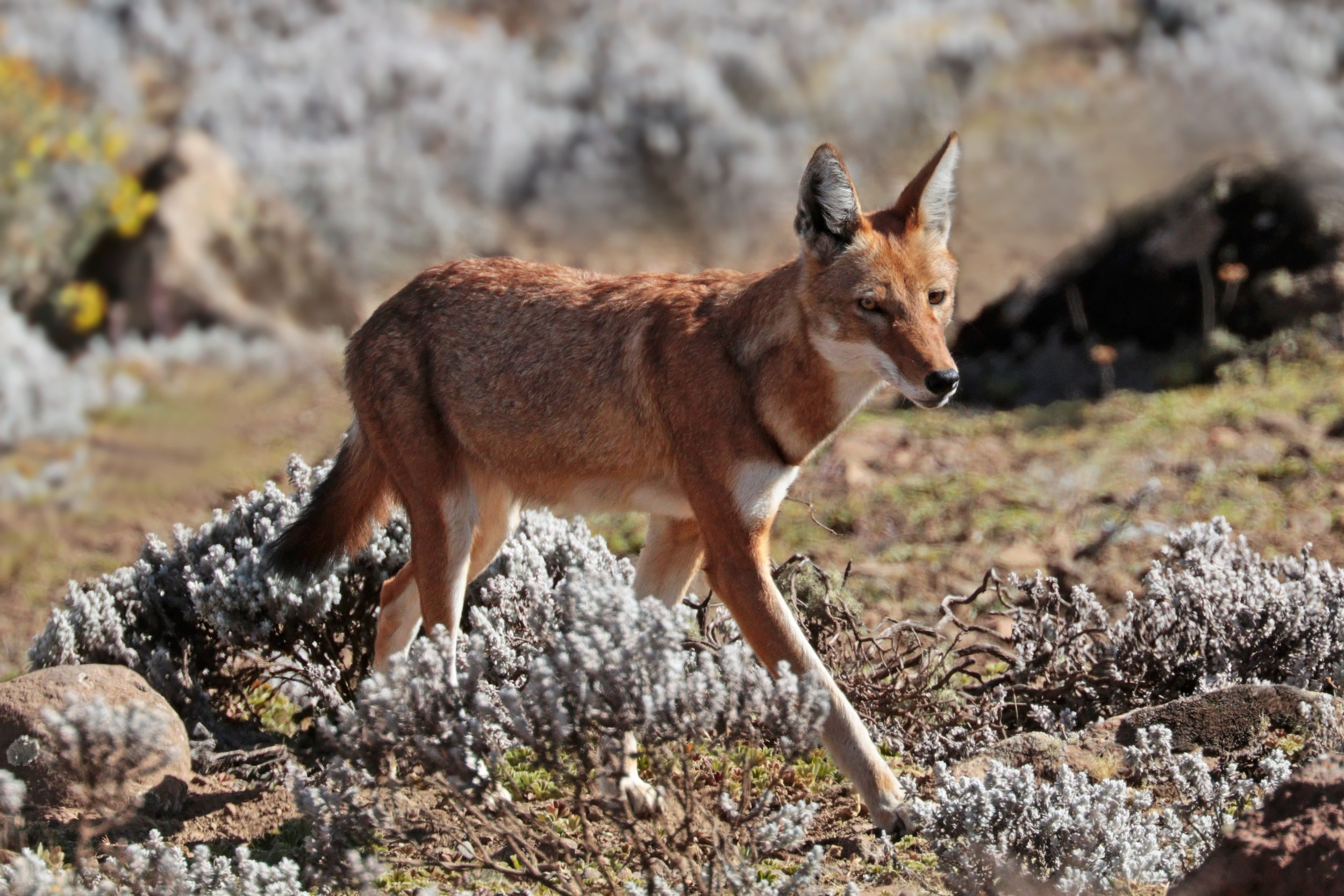 "- ""…the protection of Afro-alpine habitats as water sources and providers of other ecosystem services… can be more effectively communicated if the narrative focuses on the endemic and Endangered Ethiopian Wolf,"""