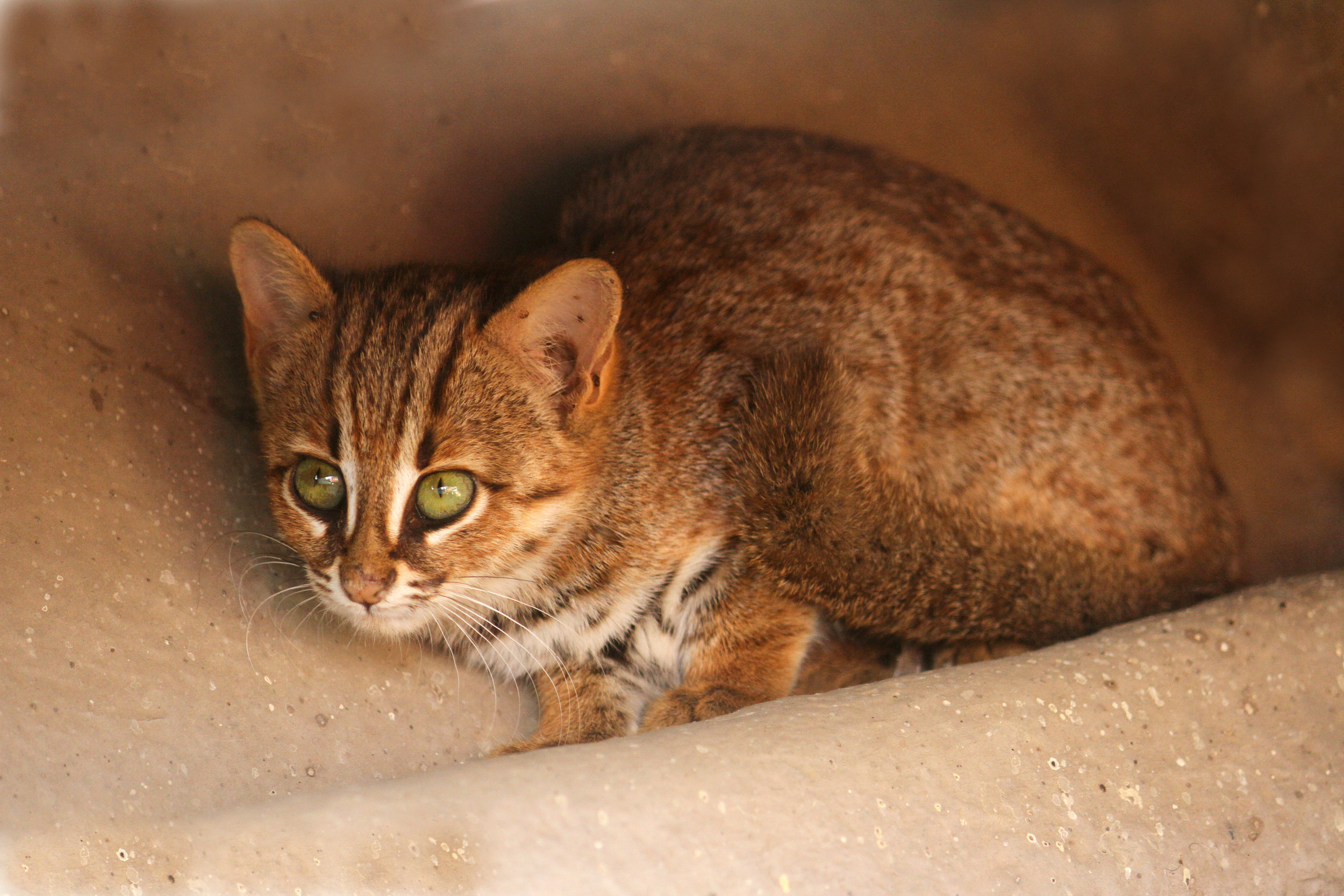 The rusty-spotted cat ( Prionailurus rubiginosus )  is one of the smallest wildcat species, as well as the rarest.    Photo credit David Raju