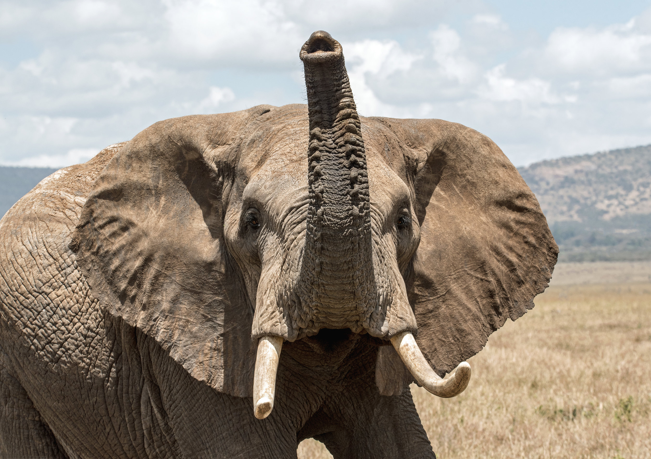 """- """"…it's unknown whether these trends alone are sufficient to save the African elephant from extinction""""."""