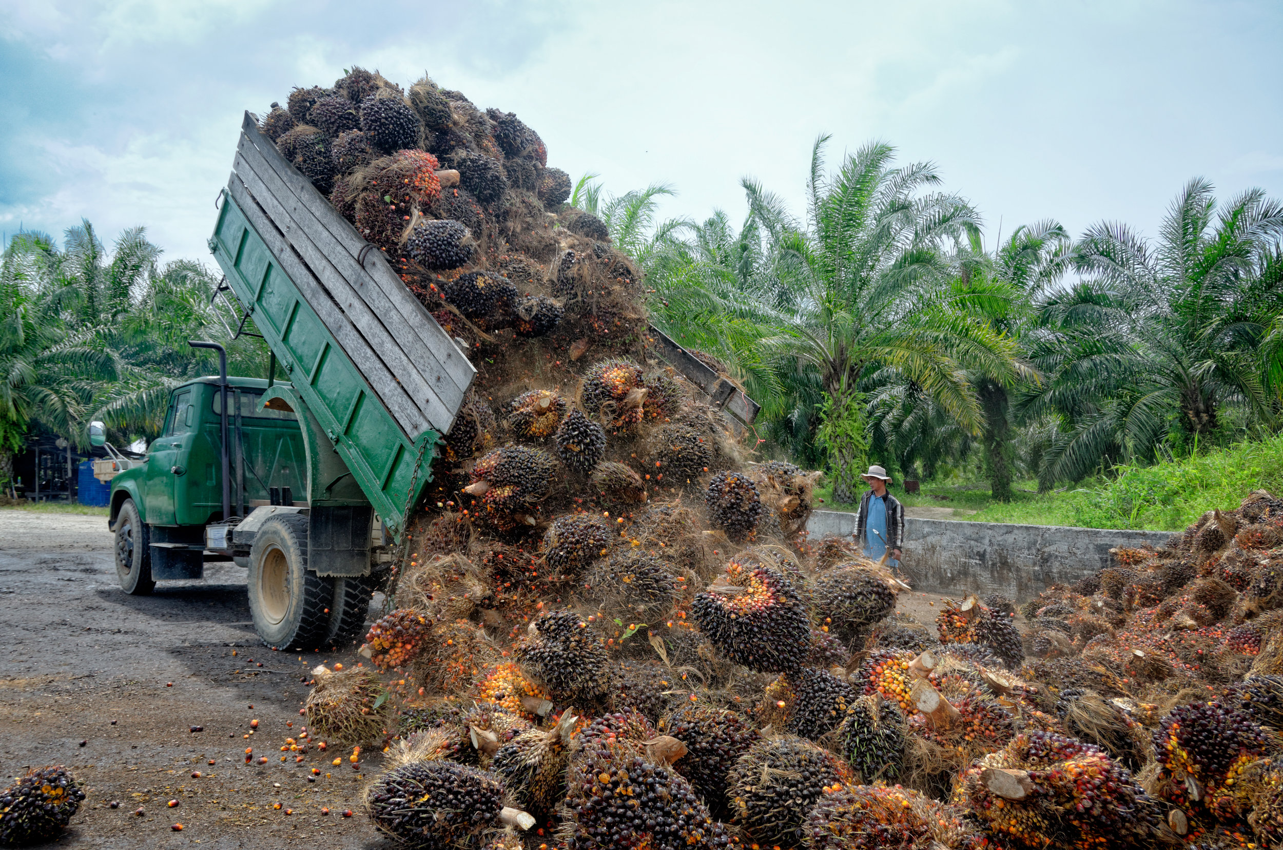 PICTURED:  Plantation worker watches as a truck unloads freshly harvested oil palm fruit bunches at a collection point.