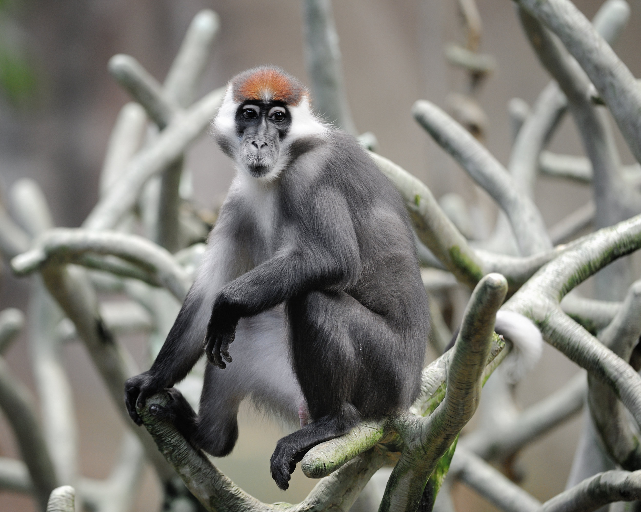PICTURED:  The red-capped mangabey ( Cercocebus torquatus )