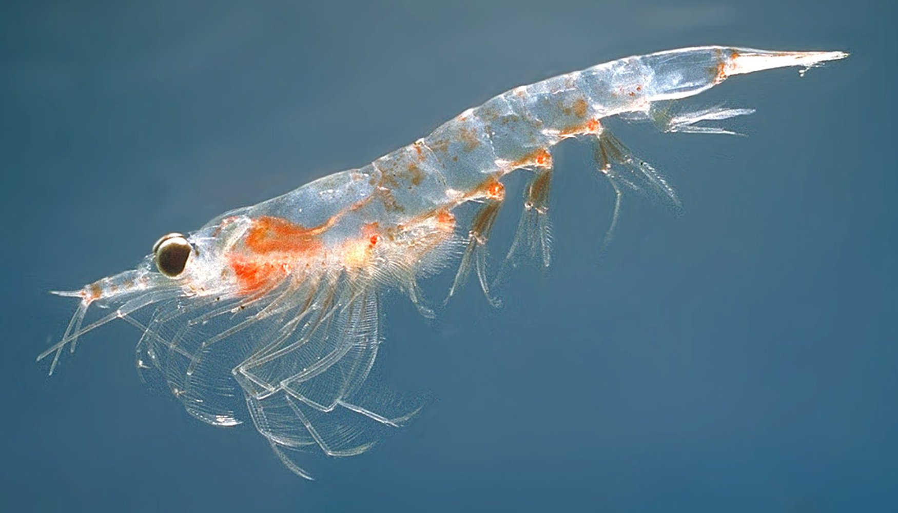 PICTURED:  A Northern krill ( Meganyctiphanes norvegica ).  Photo credit Wikimedia    GNU License