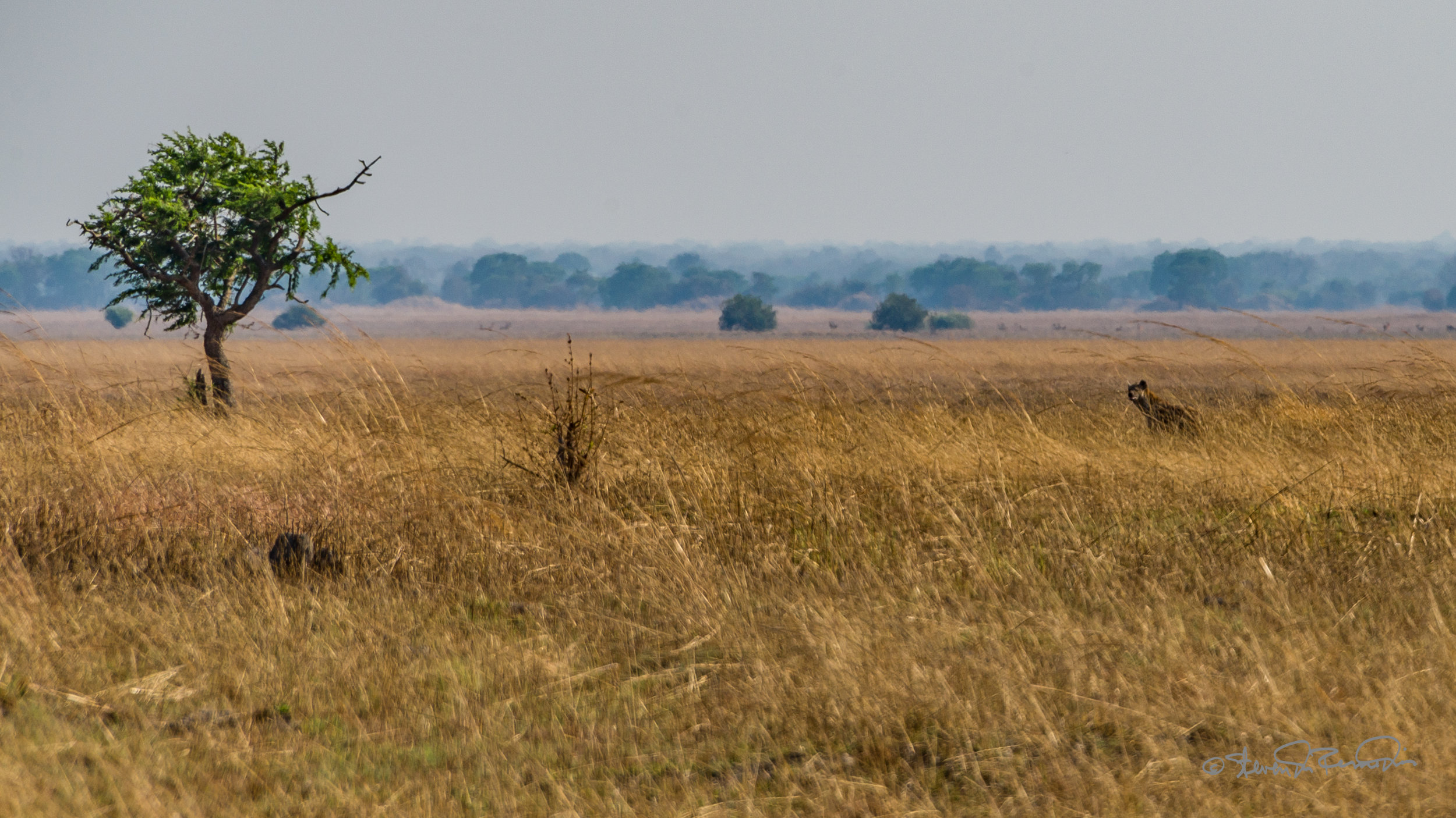 PICTURED:  A hyena lurks in the grasslands of Kafue National Park, Zambia.  Photo credit Steven DosRemedios,    CC.4