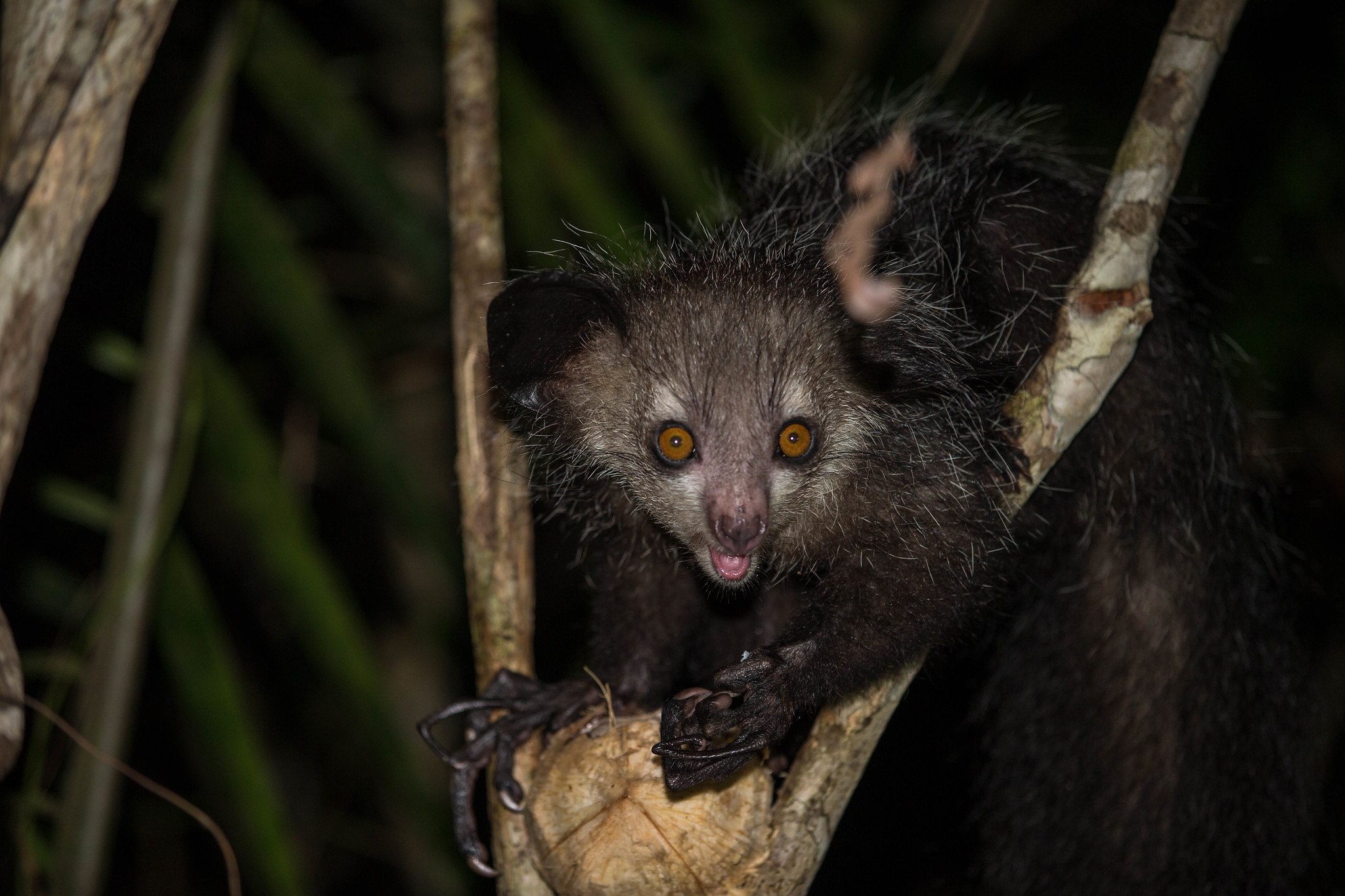 PICTURED:  The remarkable aye-aye lemur of Madagascar's far south.  Photo credit Oregon State University,    CC.2.0
