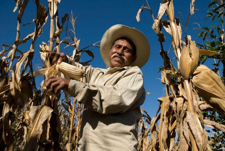 PICTURED:  A traditional  campesino  - a small-scale family farm owner in rural Mexico smiles among his stalks. Corn is a massive part of both the Mexican economy, and culture.