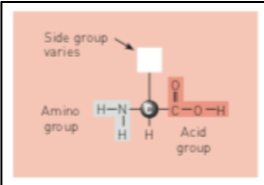 Figure 3: Chemical structure of an amino acid with an example of the nitrogen side group (Whitney & Rolfes, 2019)