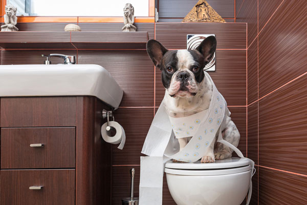 How to Potty Train a Dog - Potty training dogs is not very easy, but everyone who shares their lives with dogs must do it. How to house train a puppy is slightly different than how to house train a dog, but the tools, routines and human commitment levels required to do it well are the same.