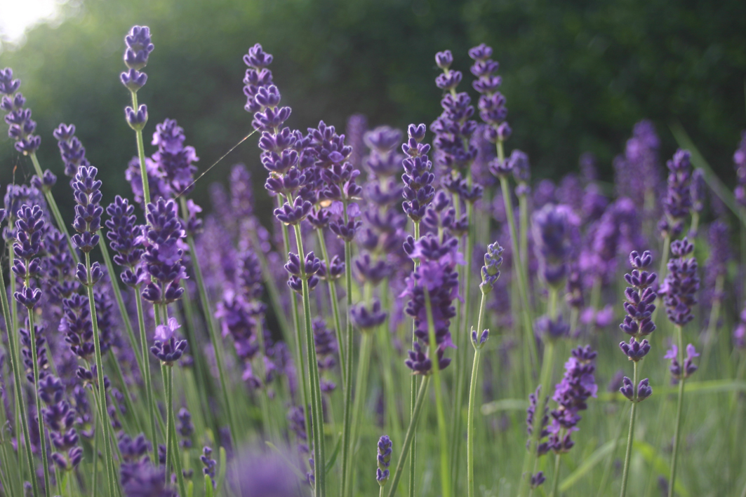 Lavender flowers in the evening sun