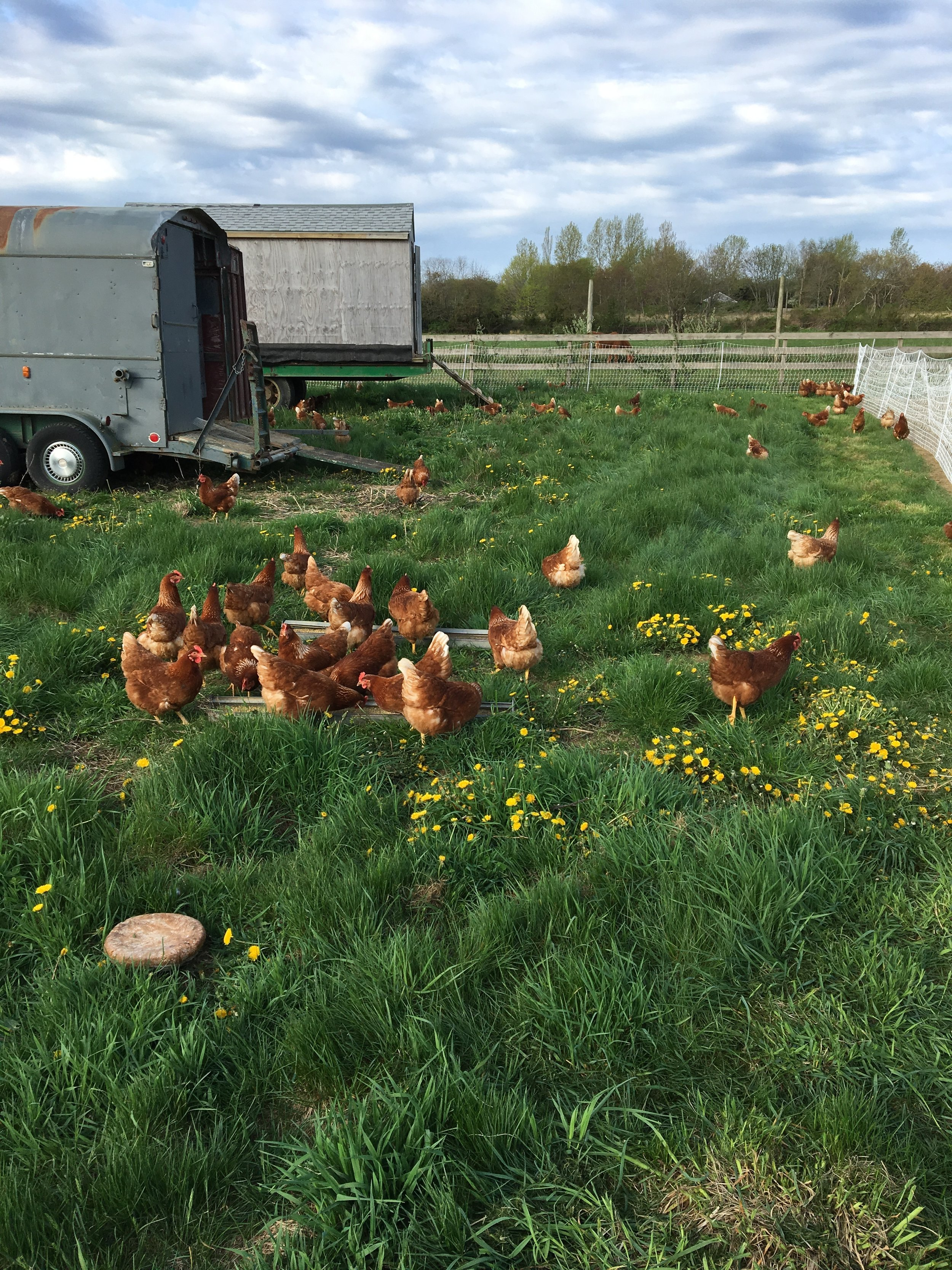 Our meat chickens are raised… - …in open floor houses that get moved daily. It gives our pasture the perfect amount of fertilizer and gives the birds a steady supply of grass and bugs and a safe place to grow. We process our meat chickens on farm every other week from May-October and sell the meat right in our farm store. We offer whole birds as well as butchered cuts and backs and necks for stock. The meat from a pasture raised chicken is nothing like you'll find in the grocery store.