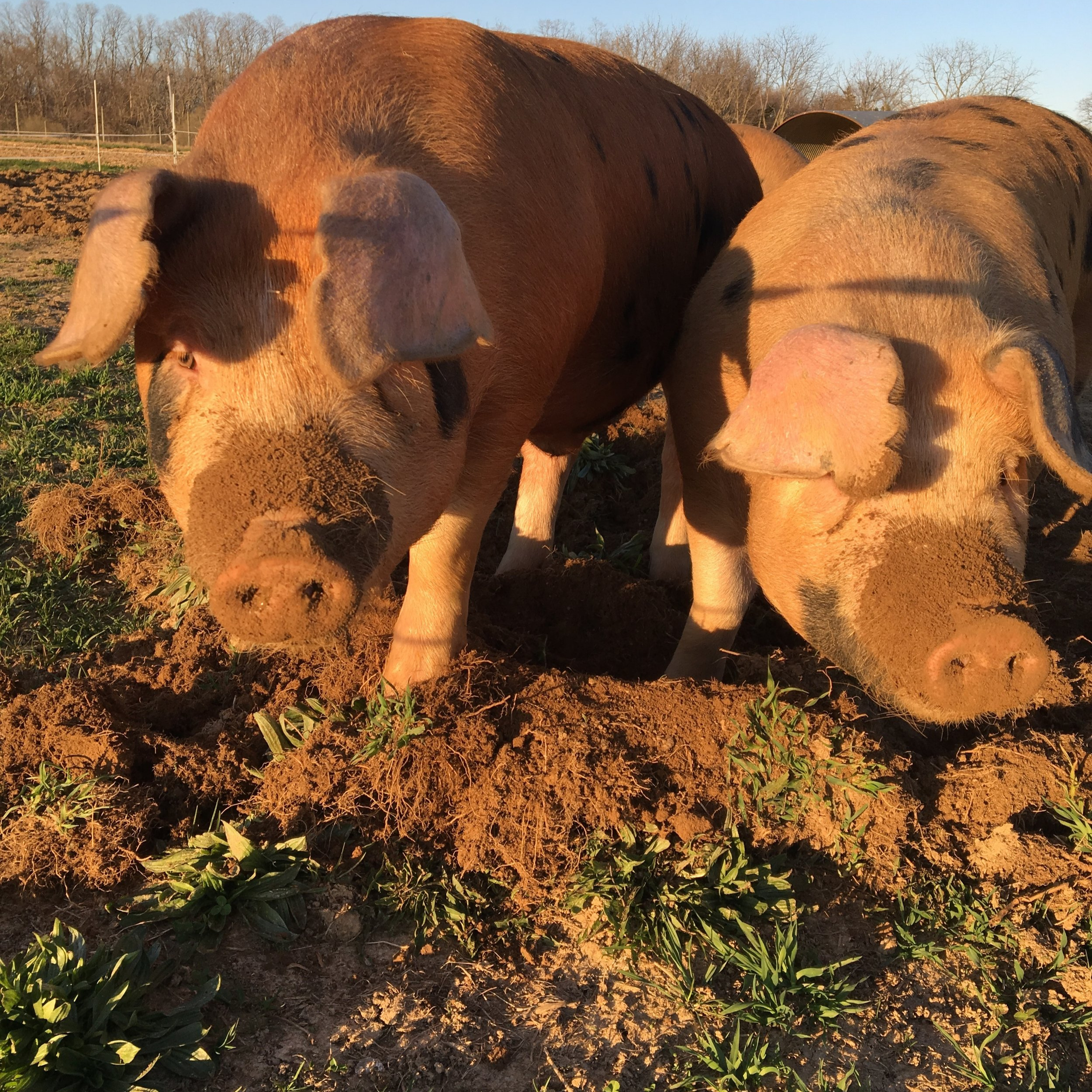 We raise heritage breed hogs outdoors throughout the year. - Our pigs are rotated through our vegetable fields and pastures. We allow and encourage them to dig, run and act like pigs. This rotation helps us cut down on feed costs and help fertilize our fields for next years' vegetables. We raise them without antibiotics and supplement their forage diet with organically grown, non GMO grain. They also are fed vegetable and fruit scraps from our own farm as well as other local farms, restaurants and businesses which helps us minimize waste in the community and keep our pigs happy!