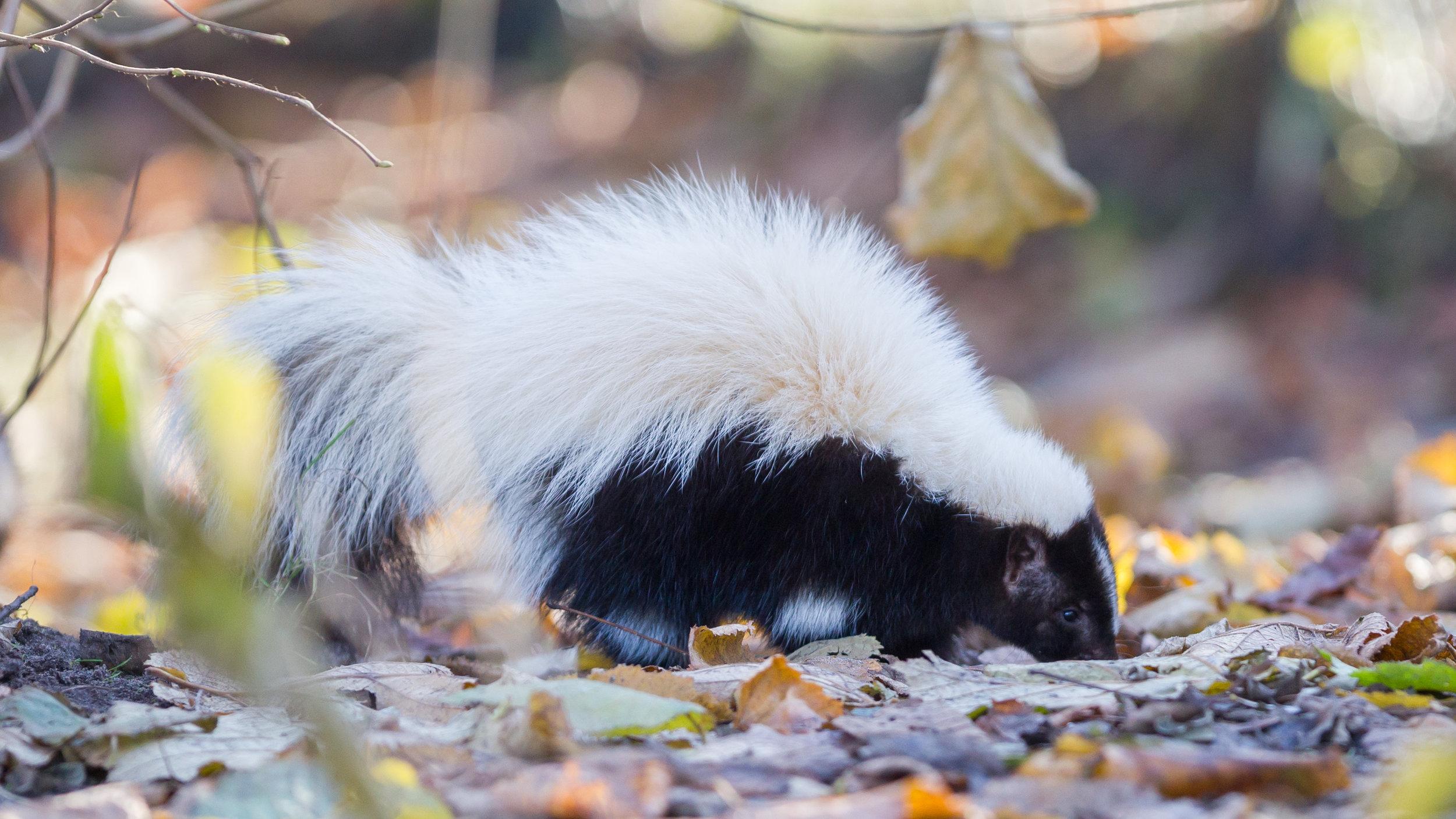 Skunk-Lavellan.jpeg