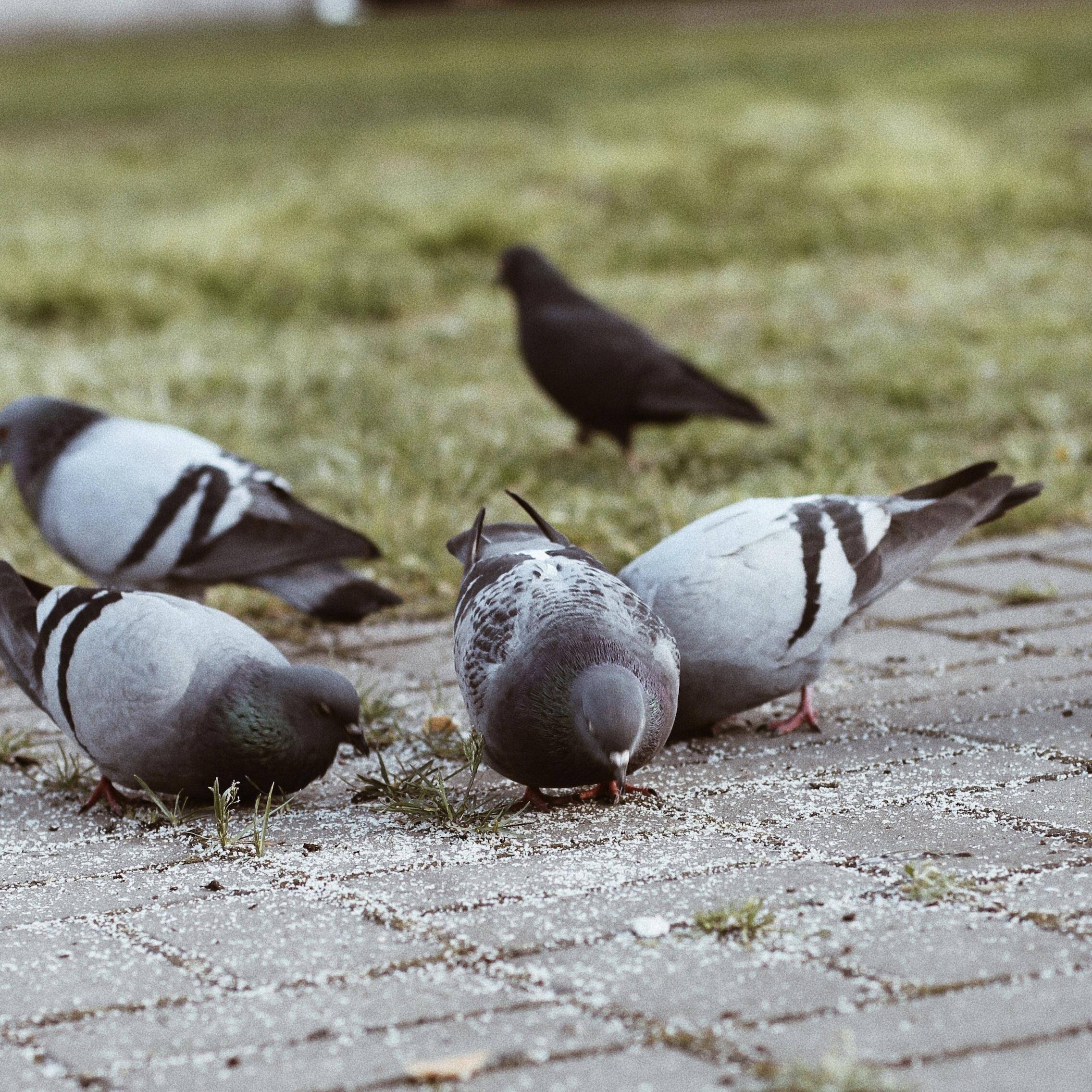 Lavellan-Pigeons.jpg
