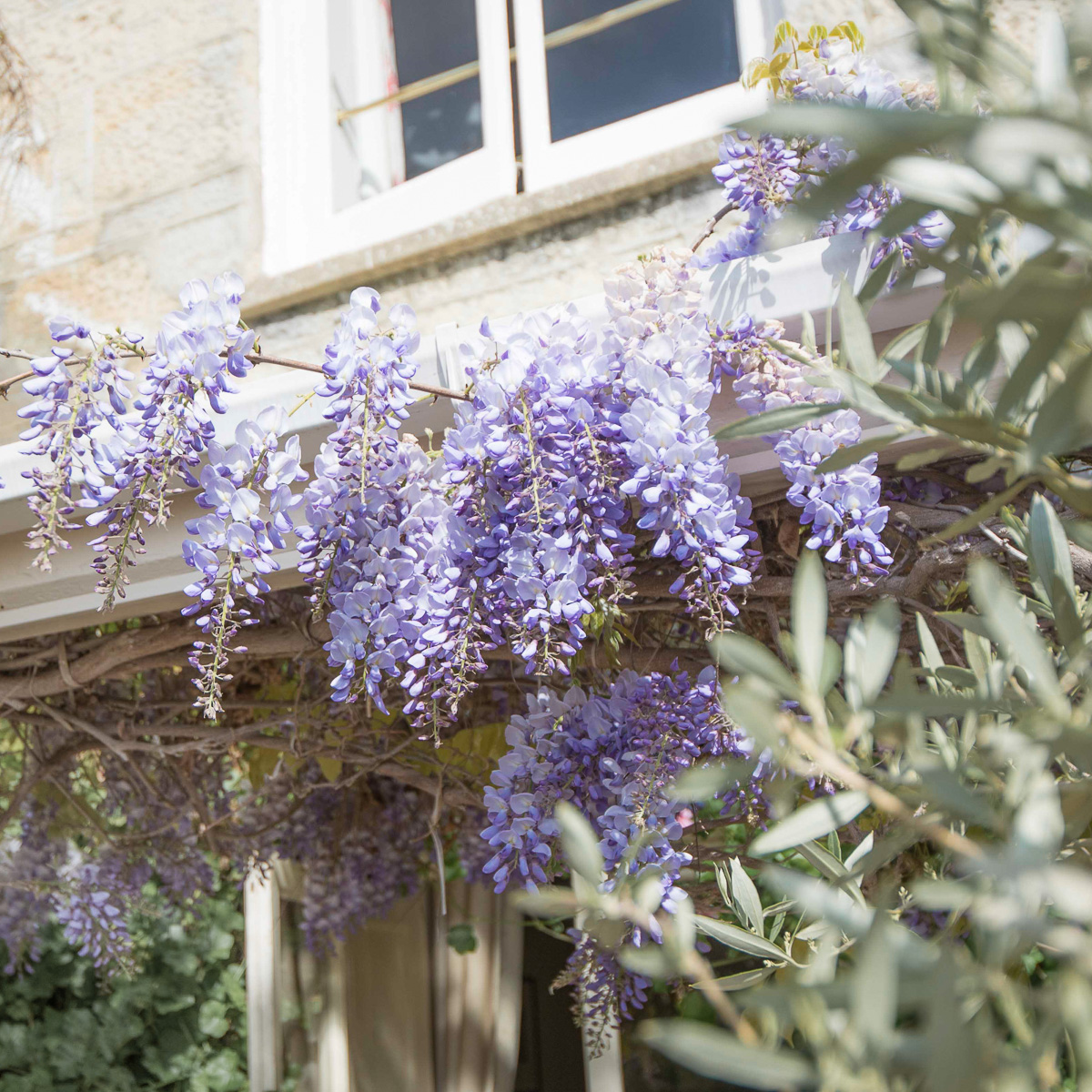 The Royal Hotel, wisteria
