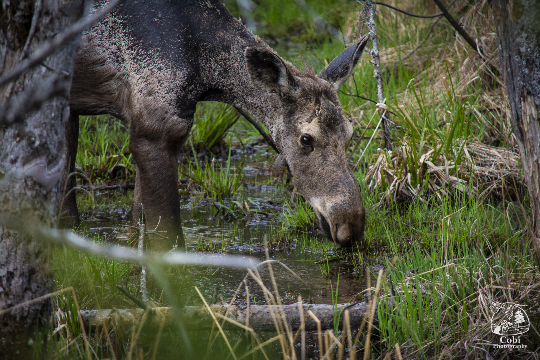 Moose viewing in Algonquin Park.