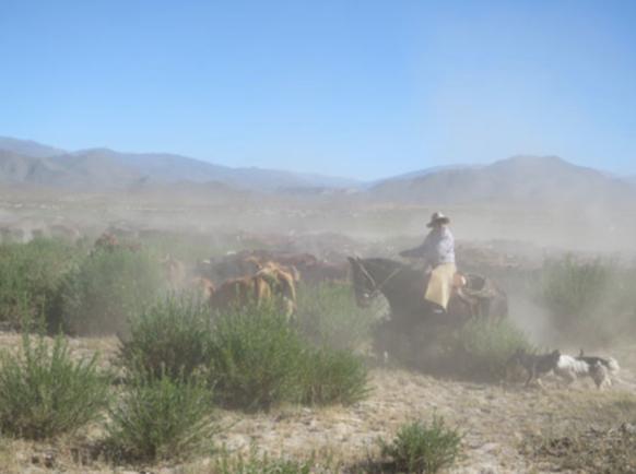 José wrangles the cattle as a dust cloud gathers.