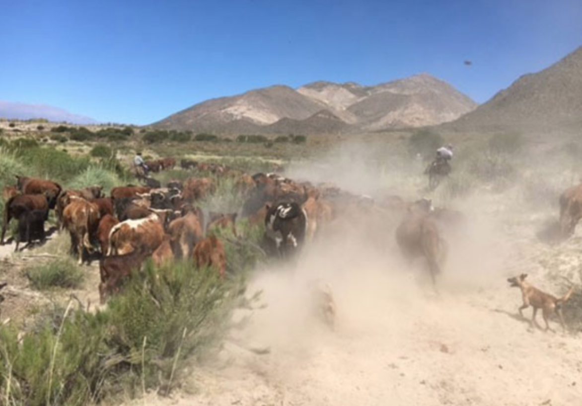 Bill leads a cattle roundup on the Gualfin ranch.