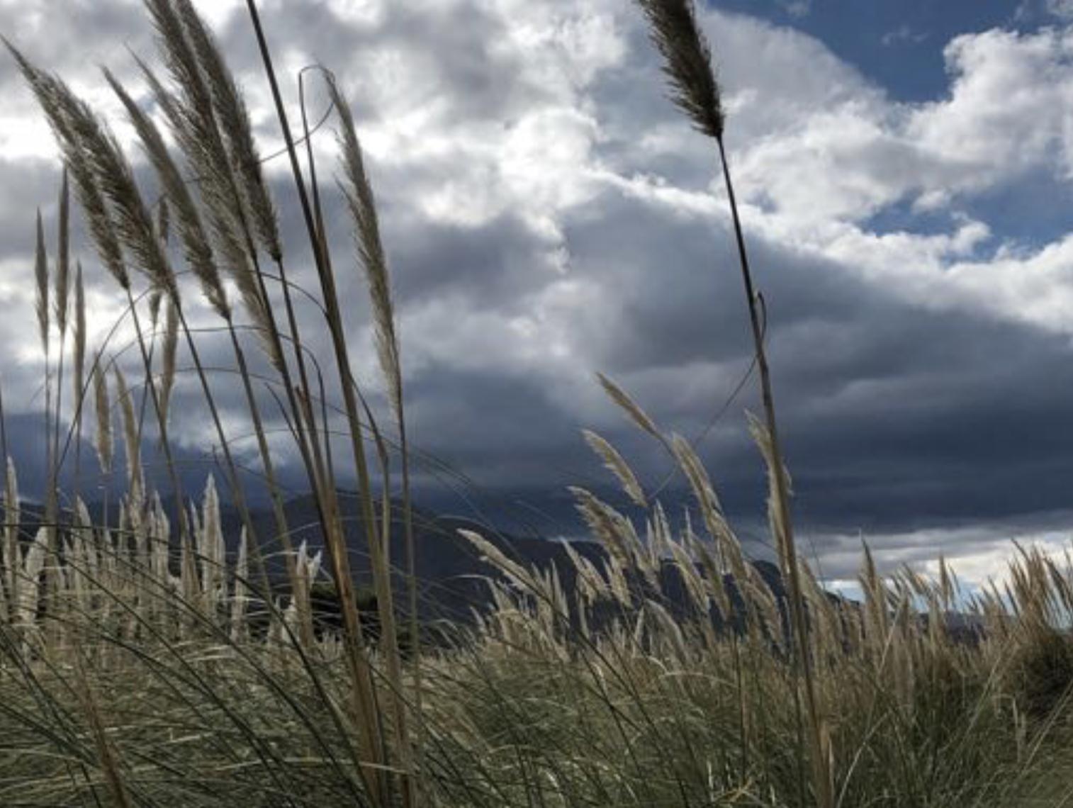 Pampa grass in the  cienaga  of Gualfin