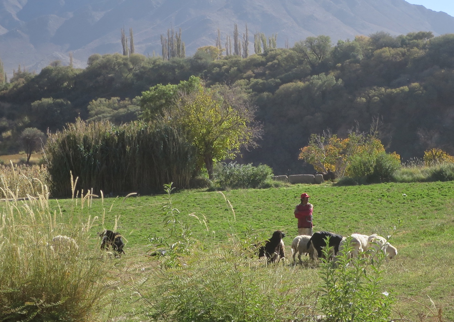 A shepherd and his dog keep watch over their flock in Cachi Adentro.