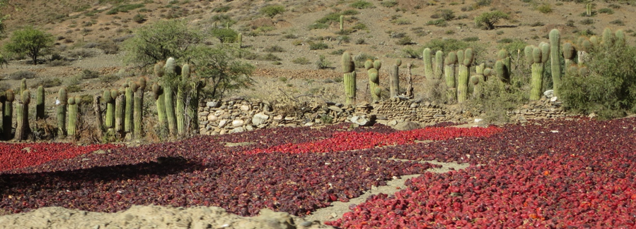 Looking over an adobe wall into a  cancha  of drying pimiento. Another wall of  cardón  cactus and stone protects the rear and sides of the  cancha.