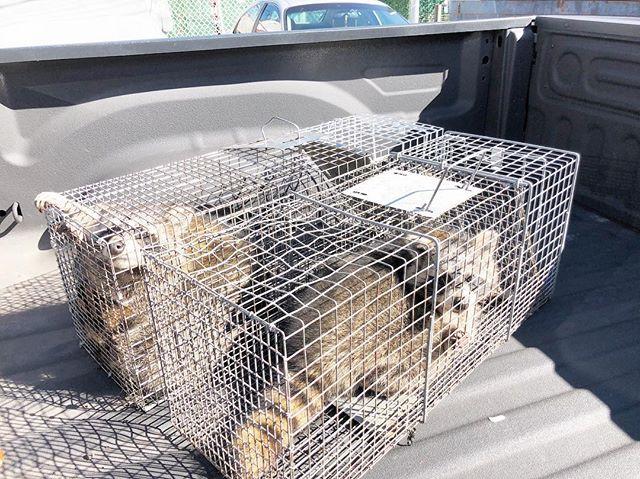Wildlife Removal: (718) 356.8482 ! #raccoons #wildlife #animalcontrol #nyc #pests #statenisland #brooklyn #manhattan