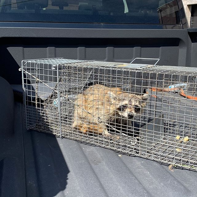 •WildLife Removal for your property. • #raccoons #wildlifephotography #nyc #pestcontrol #newyork #statenisland #pests #brooklyn