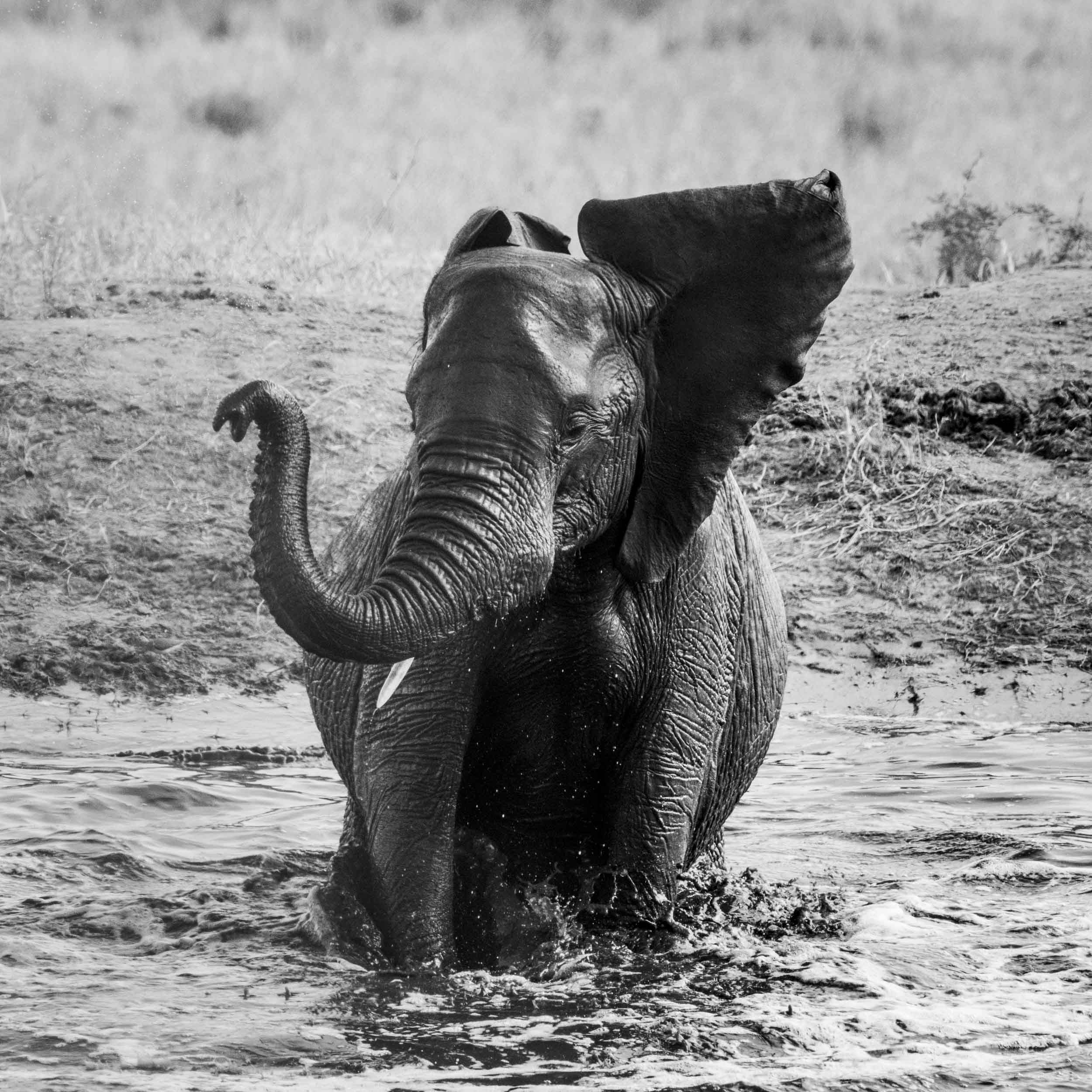 baby elephant playing in the water BW trunk.jpg