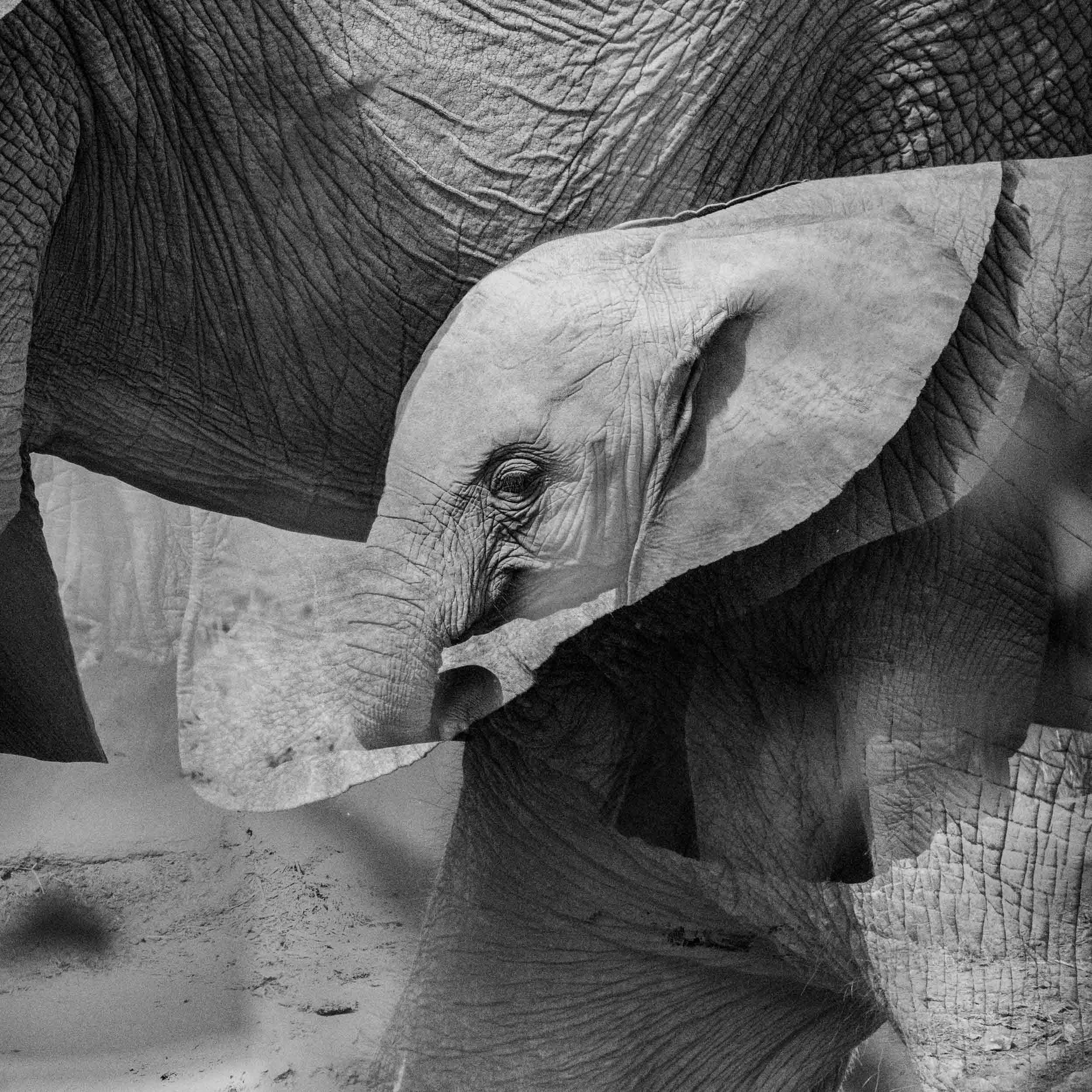 Baby elephant with mom multiple exposure.jpg